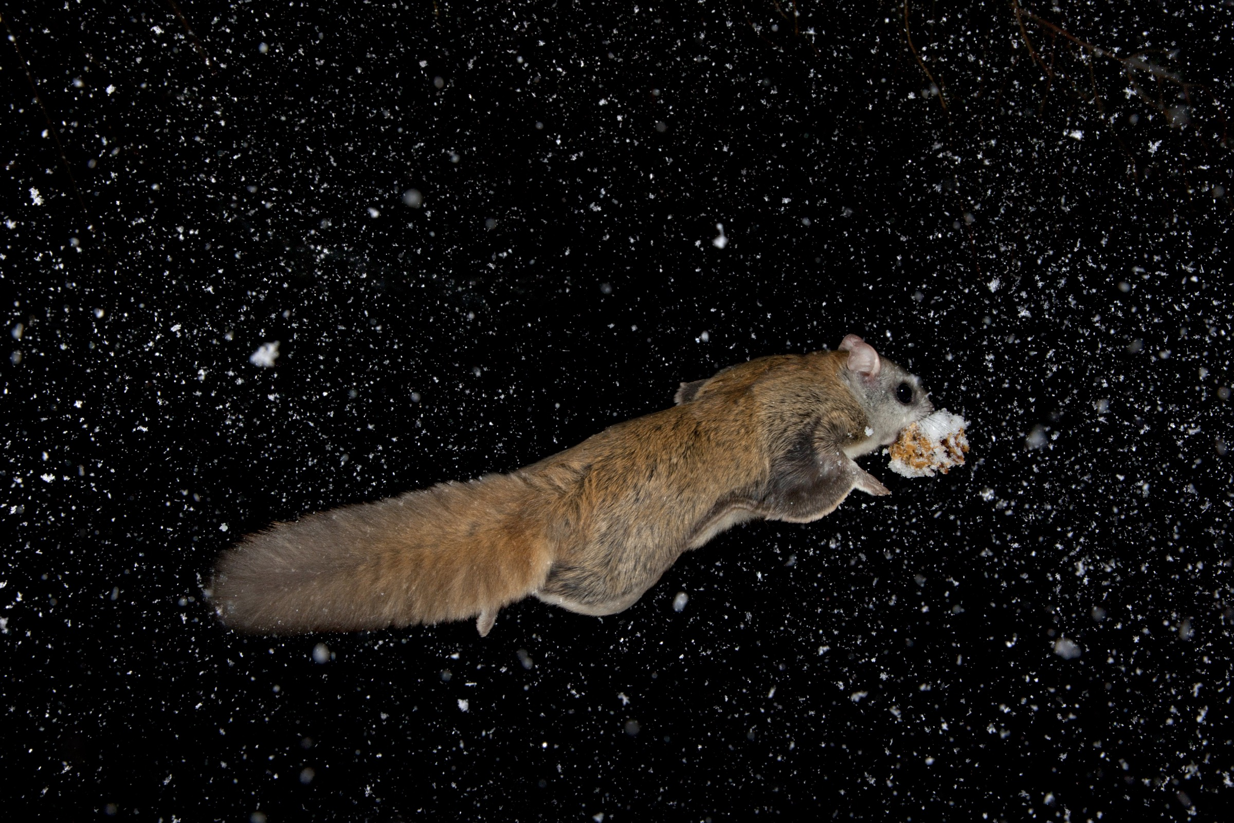 Flying squirrels are the original flexible-wing aircraft. By actively moving their limbs during various stages of a flight, the squirrels are able to morph their shape from that of an agile jet outline during take-offs and aerial pursuits to that of a long-range cruiser during the middle portion of glides.