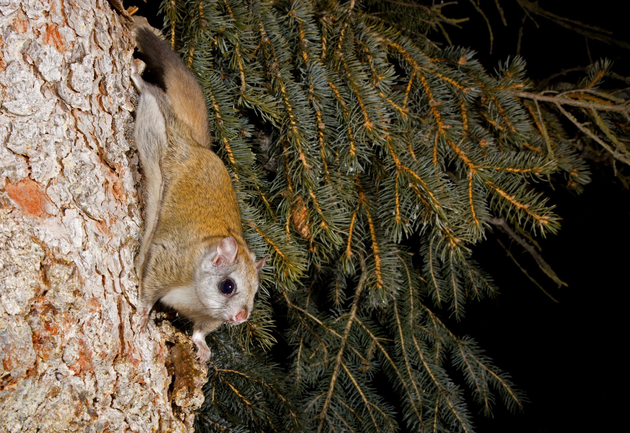 There are more than 40 species of flying squirrels in the world, two of which—the northern and southern flying squirrels—occur in North America. The northern flying squirrel (featured in this article) ranges across Canada, Alaska, and the northern United States, typically occupying cool mountain zones as far south as North Carolina.