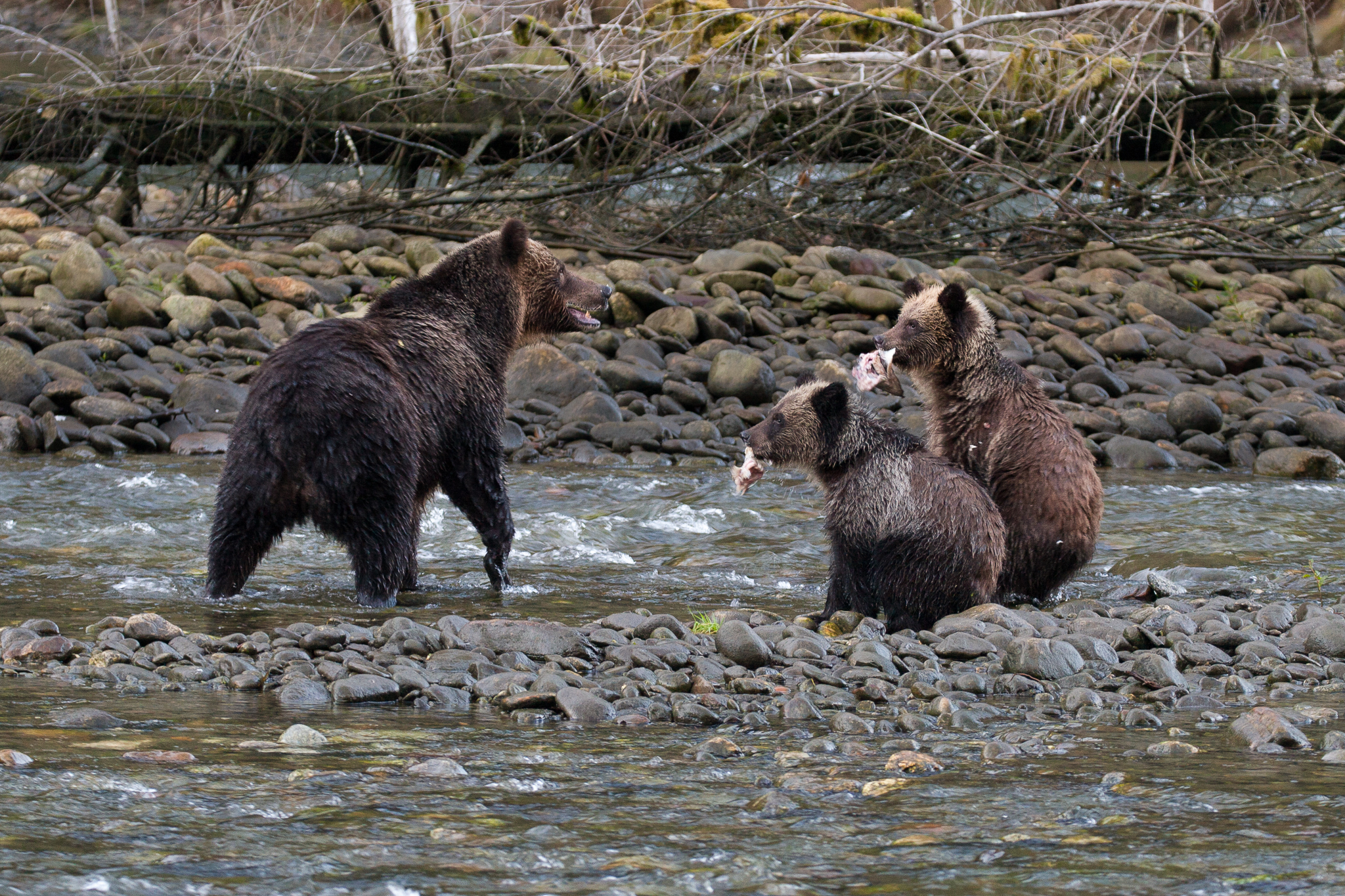 Two grizzly cubs display the sort of protein-rich prizes that have brought them and their mother to the river in Great Bear's Fjordland Conservancy.
