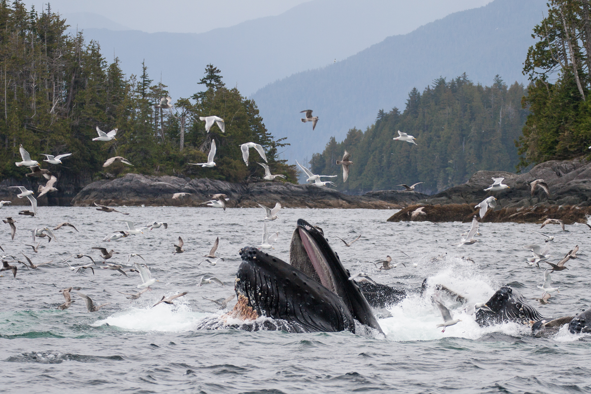 Humpback whales break the surface in a spectacular display of cooperative hunting.