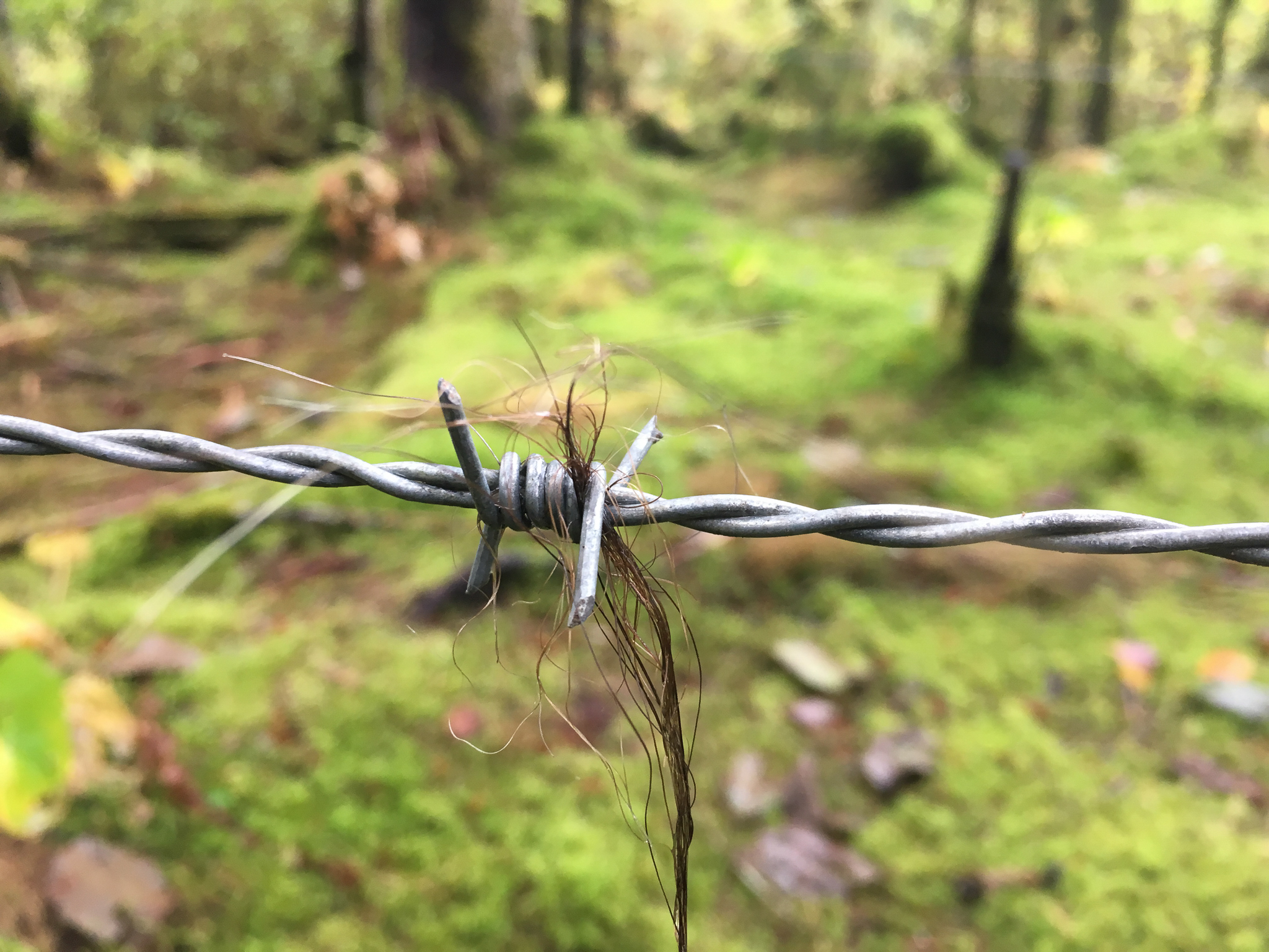 Biologists use barbed wire to collect bear hair for use in DNA analyses of individuals in the grizzly population here.