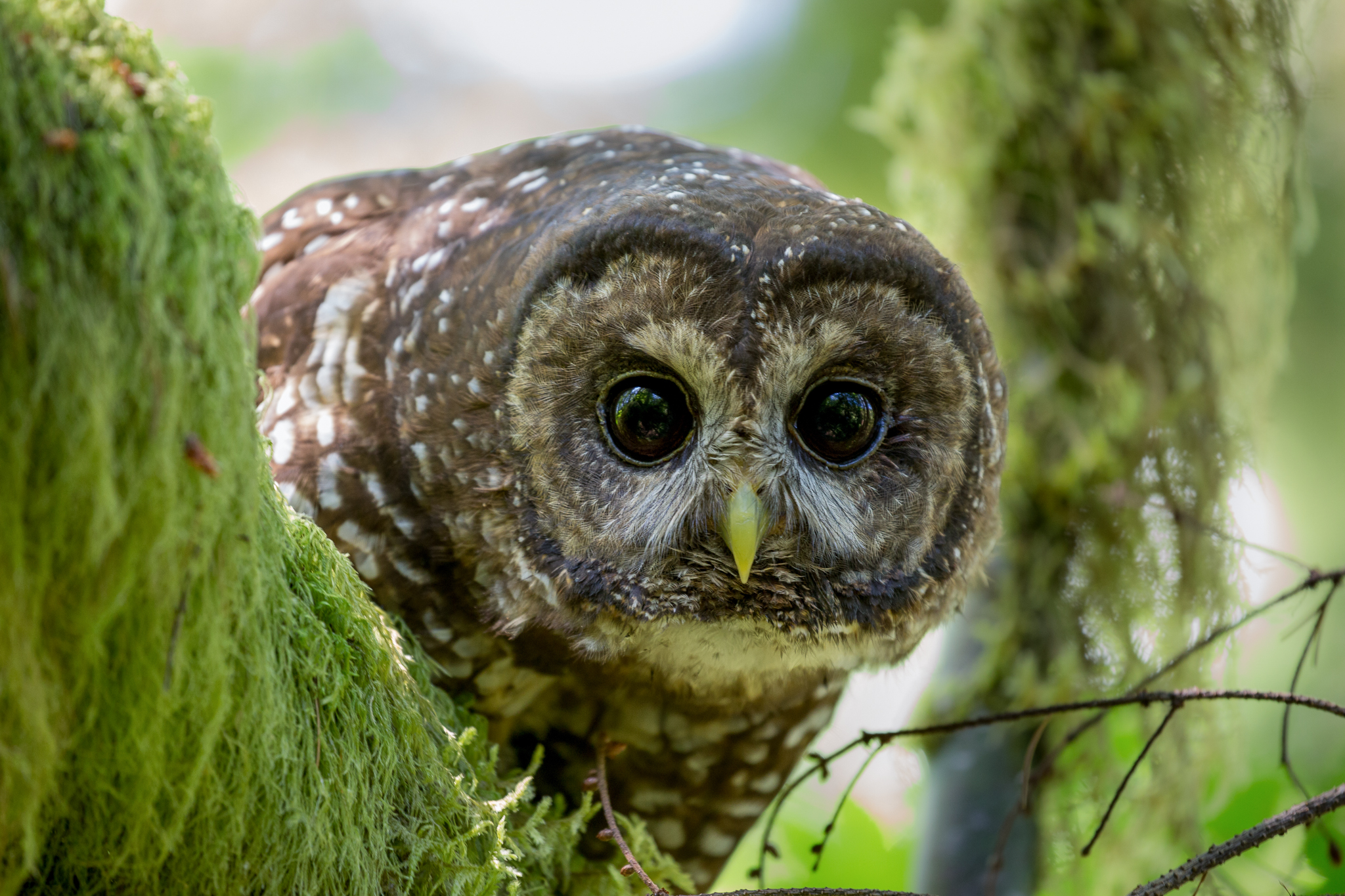 A watchful female northern spotted owl eyes the research team as they look to her for clues about the status of her nest.
