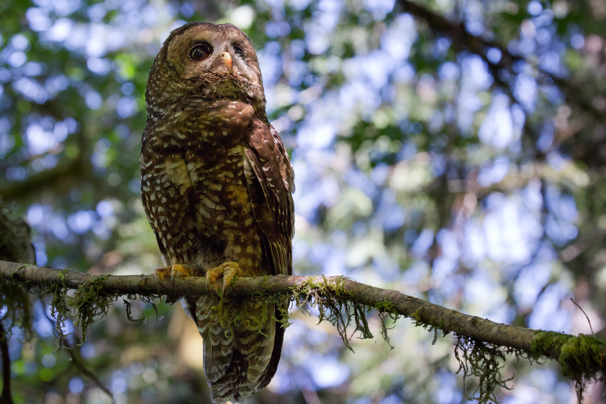 A female northern spotted owl (Strix occidentalis) surveys her territory in Oregon's Coast Range.