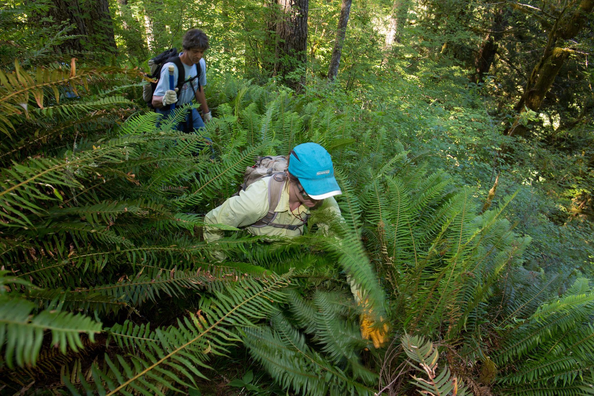 Oregon State University researchers trek through the thick undergrowth of ferns in Oregon's Coast Range.