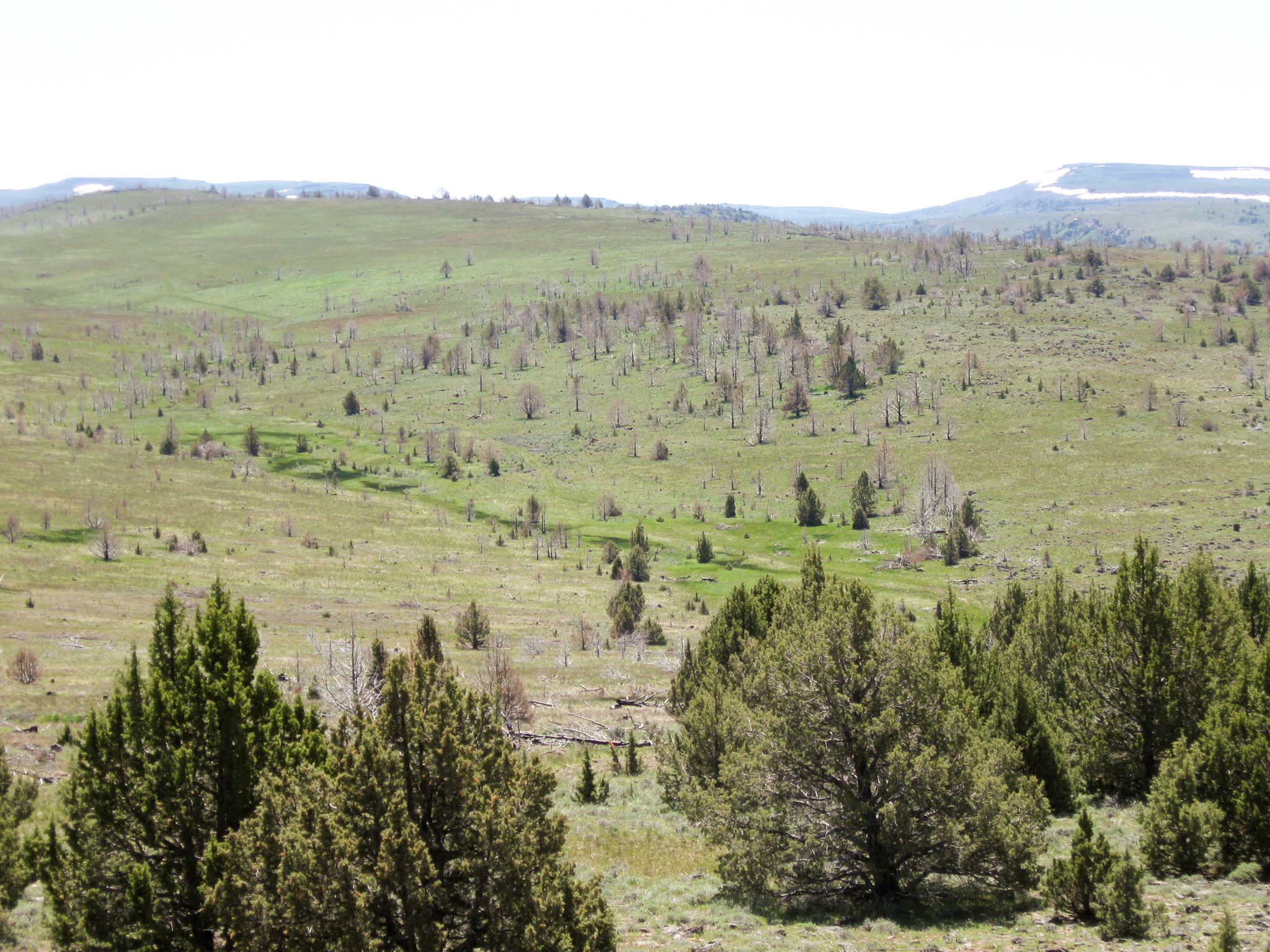 The sagebrush steppe ecosystem is well on its way to recovery in the Five Creeks area of eastern Oregon, just one year after a controlled burn passed through, clearing the land of young junipers. Photograph by Travis Miller