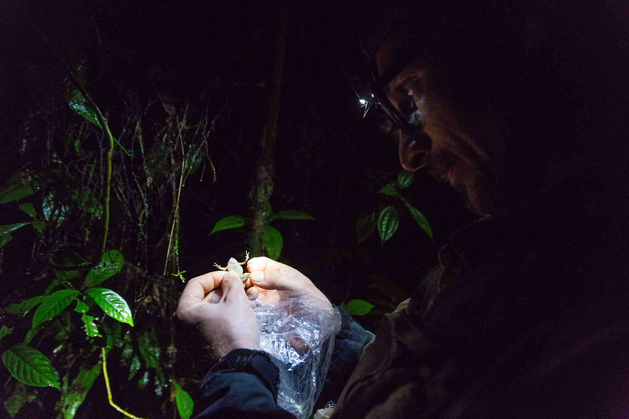 José Padial examines a toad of the genus Rhinella in search of taxonomic clues. Photo by Andy Isaacson
