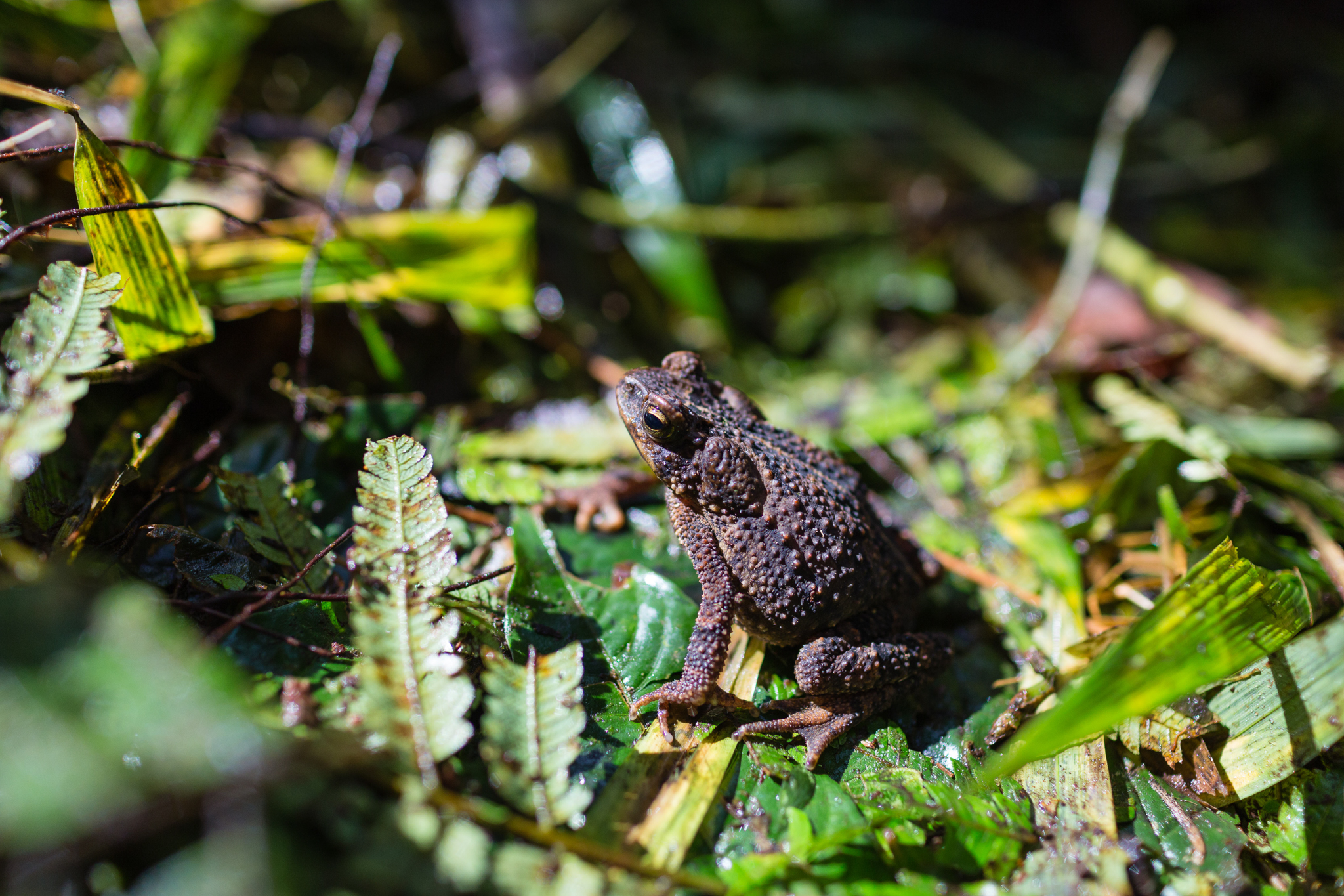 Rhinella inca, a common inhabitant of the cloud forests of Vilcabamba. Photo by Andy Isaacson