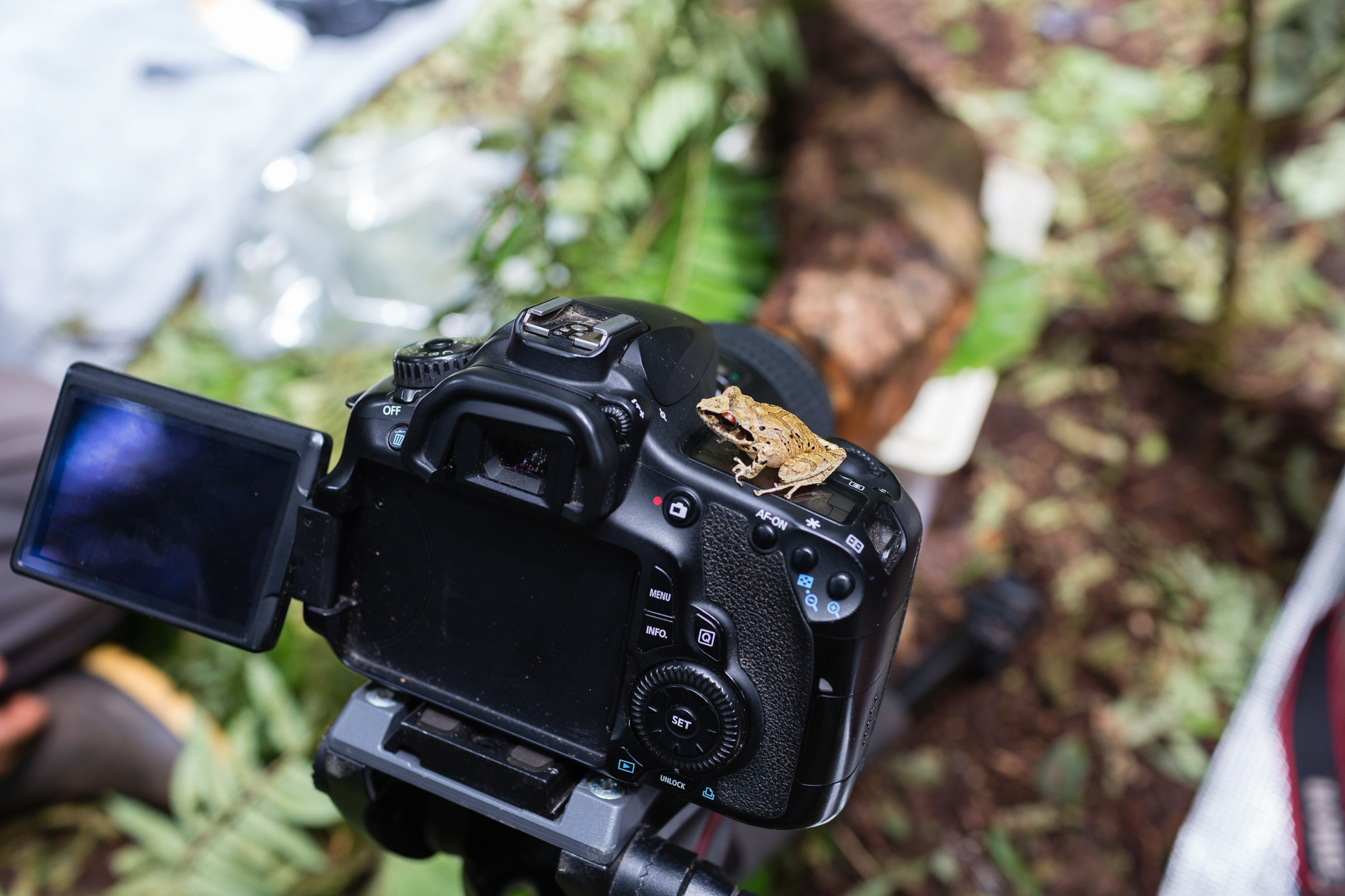 A new species of direct-developing frog of the genus Pristimantis found between Camps 2 and 3. Photo by Andy Isaacson