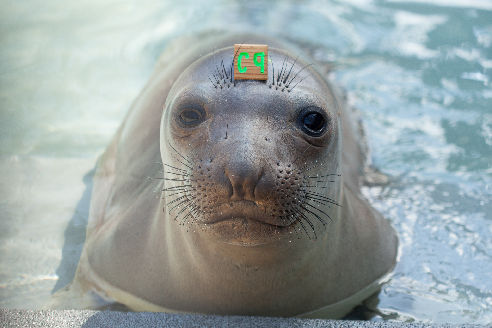 "A young elephant seal patient is identified by its temporary forehead ""hat tag."" Several species of pinnipeds are cared for at The Marine Mammal Center, and methods of identification differ to suit their distinct morphologies."