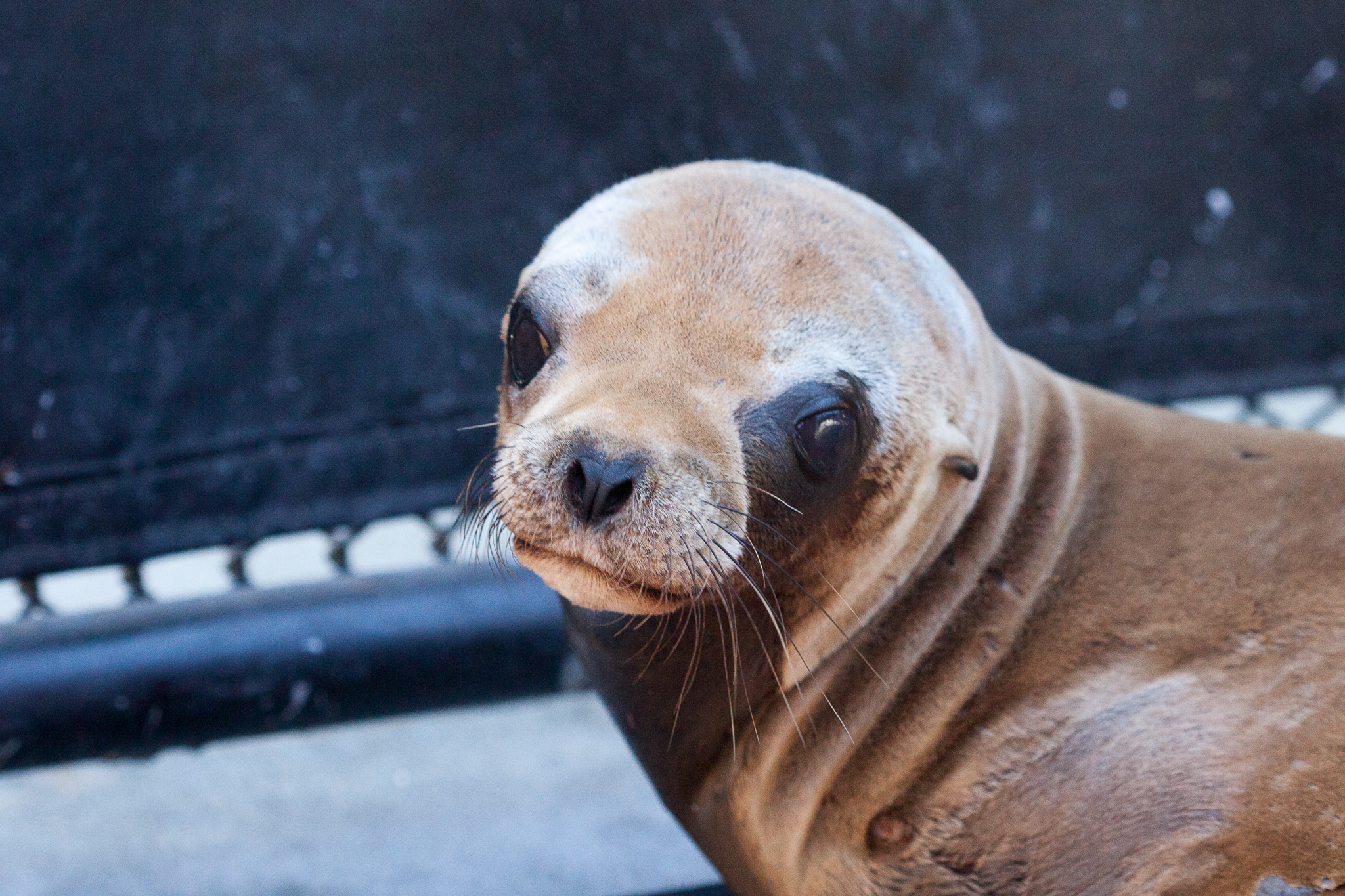 A sea lion pup recovers from sedation after being X-rayed.