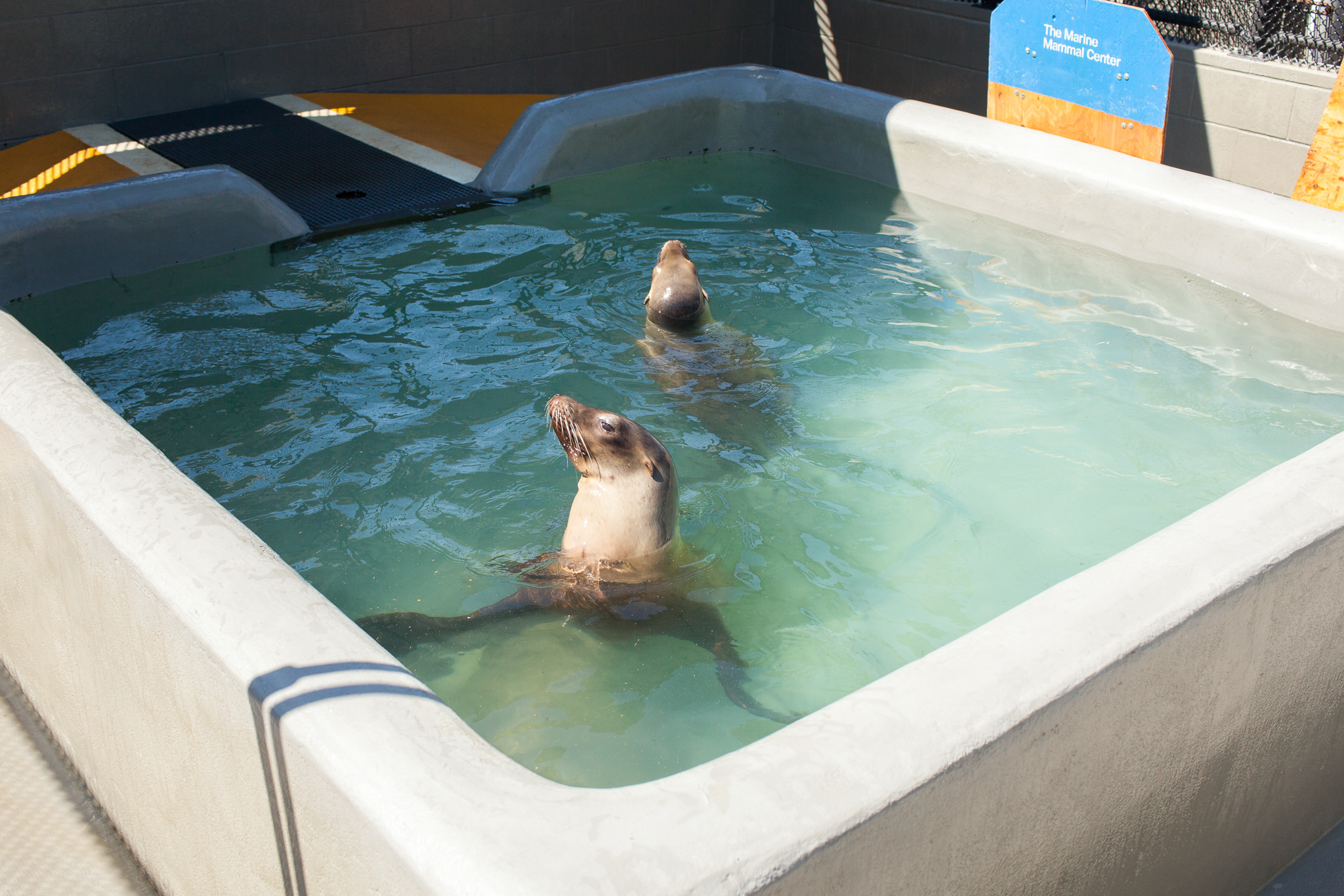 A pair of sea lion patients share a pool while undergoing rehabilitation at The Marine Mammal Center.