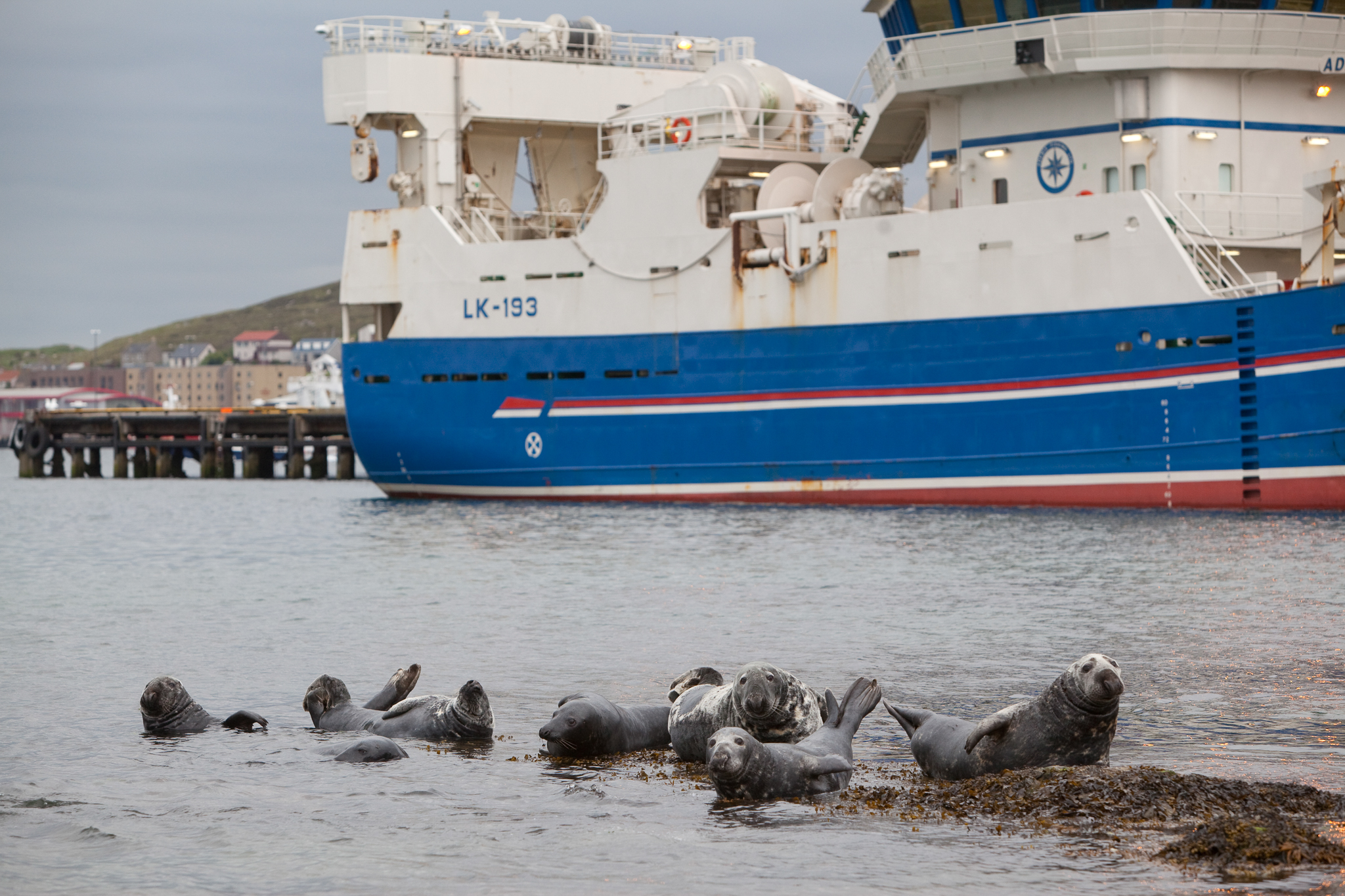 Ship traffic is one of many factors blamed for a rise in seal mortality in the U.K. Here, seals haul out in a fishing harbor with ferry in the background, Lerwick, Shetland Isles, Scotland. Photo by Peter Cairns.