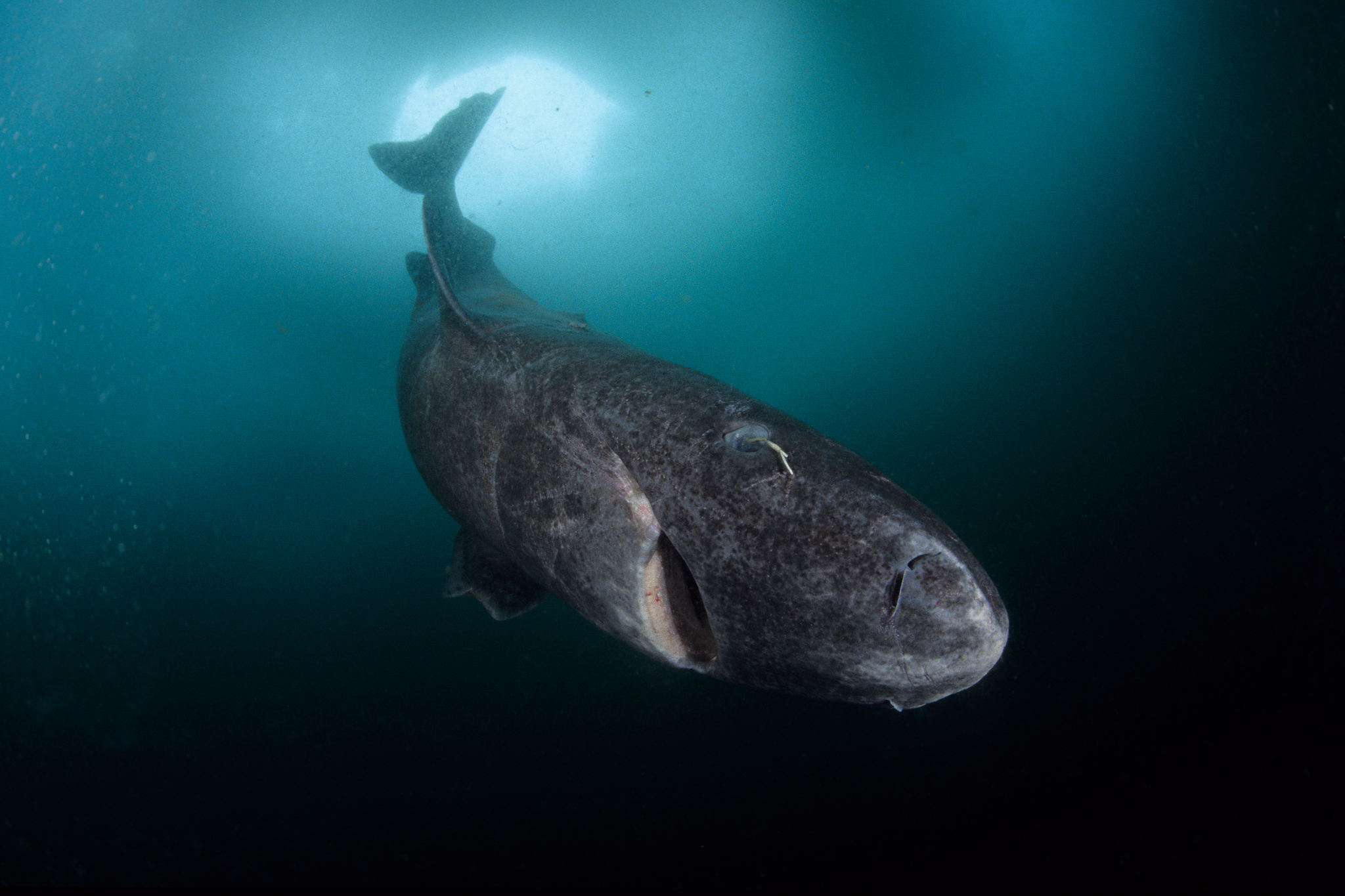 Greenland sharks (Somniosus microcephalus) have been implicated in corkscrew seal deaths off the coast of Nova Scotia. This individual was photographed in Lancaster Sound, Nunavut, northern Baffin Island, Canada. Photo by Franco Banfi.