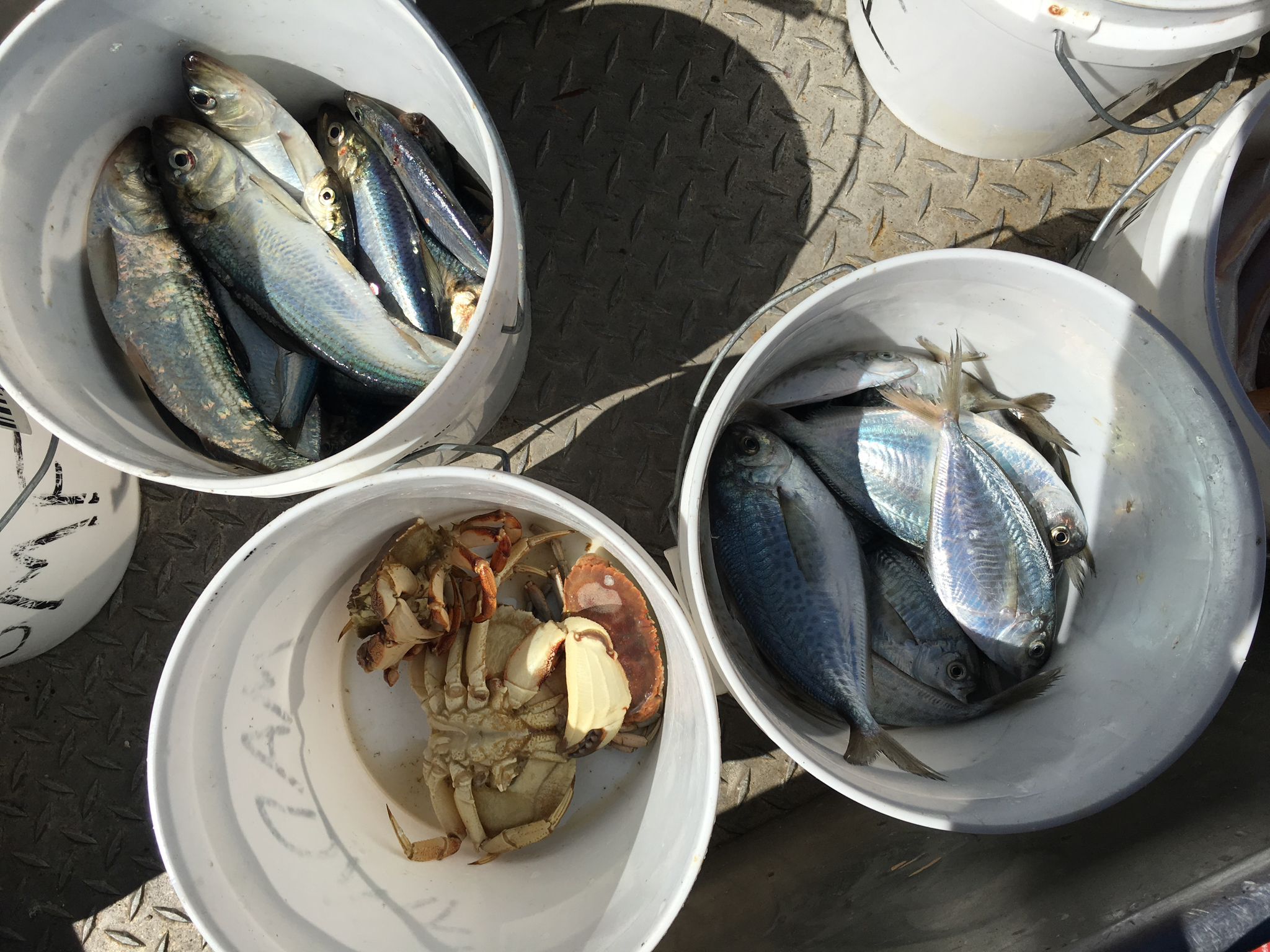The team sorts the catch by species, in this case river herring, butterfish, and rock crab. Photo by Nicola Twilley