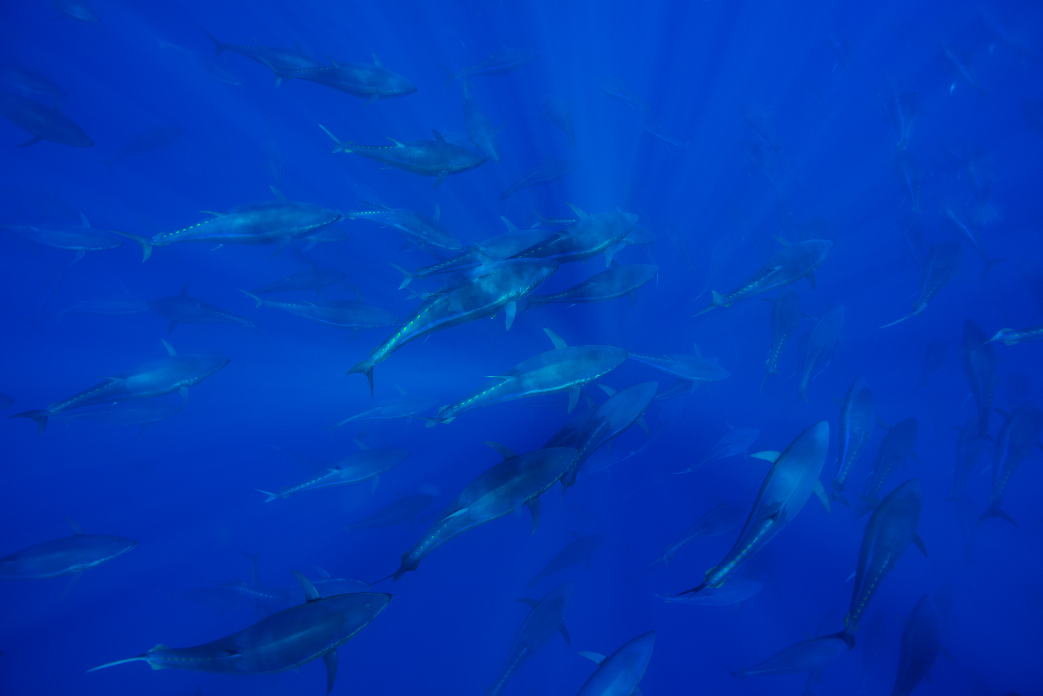 Atlantic bluefin tuna (Thunnus thynnus) shoal in open ocean, North of Santa Maria island, Azores, Portugal, September.