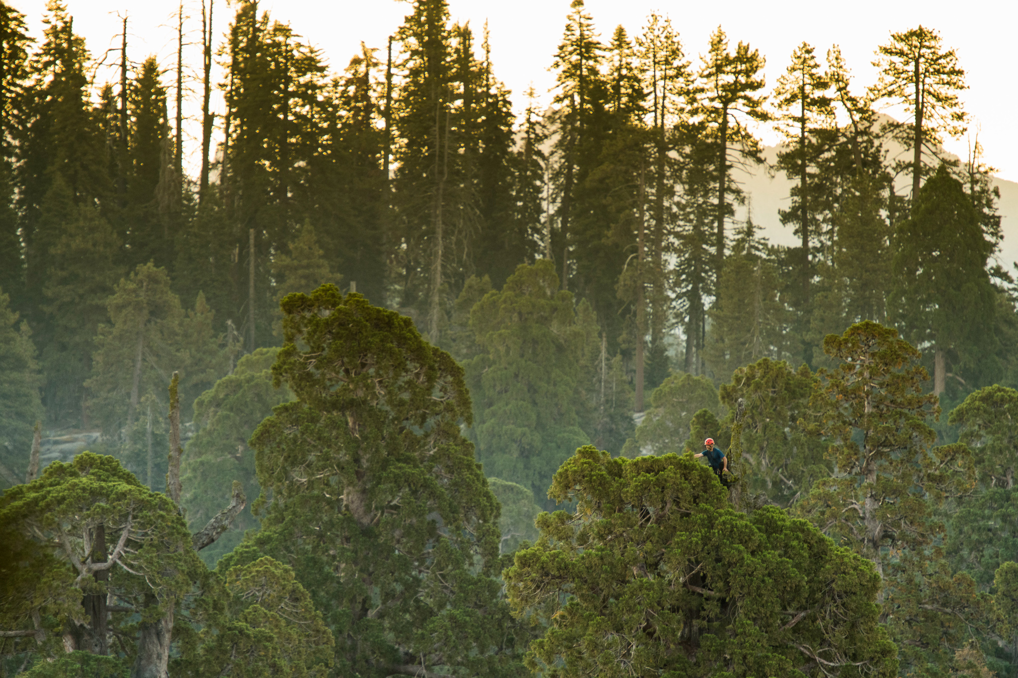 Anthony Ambrose collects foliage samples from the top of a giant sequoia tree in Sequoia National Park.