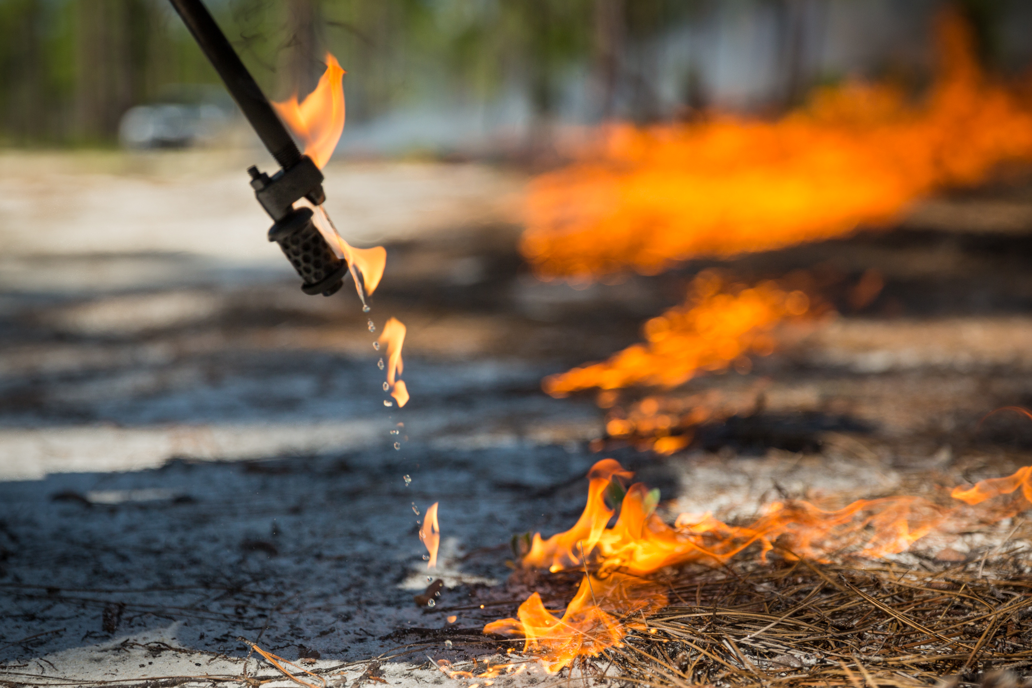 To turn the Calloway Forest Preserve land into better woodpecker habitat, The Nature Conservancy sets prescribed fires with drip torches.