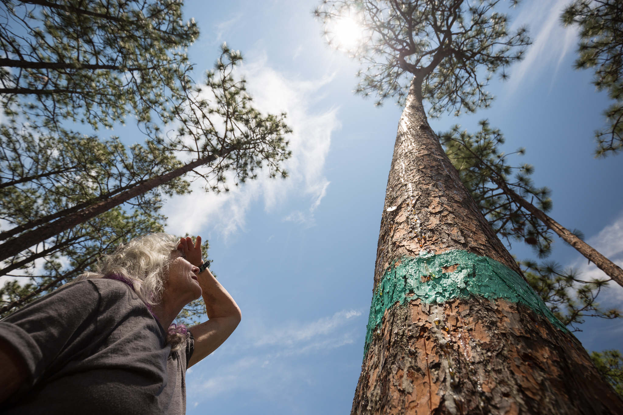 Endangered species branch chief, Jackie Britcher, inspects a red-cockaded woodpecker nest tree in Fort Bragg, NC.