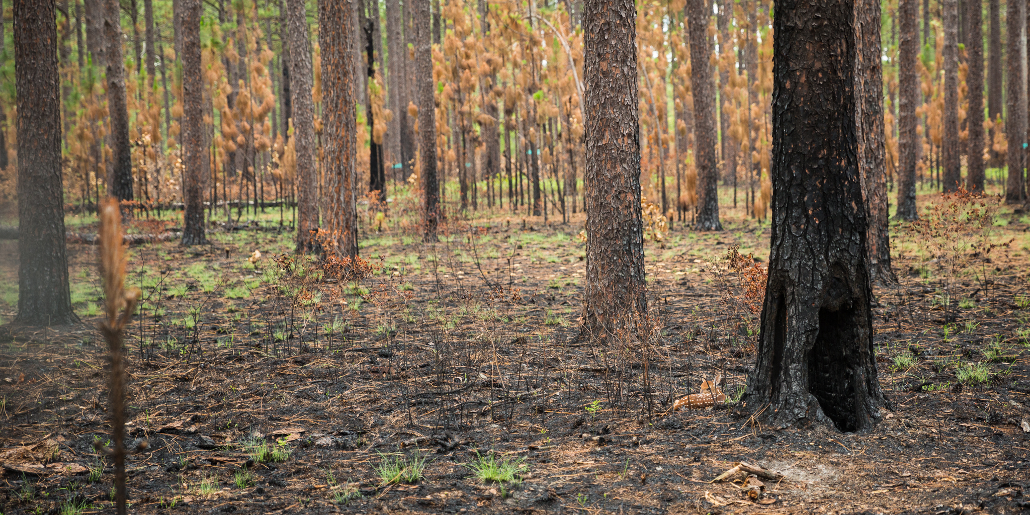 A fawn rests at the base of a recent burn in a longleaf grove in Fort Bragg, NC. Prescribed burns keep the forest healthy.