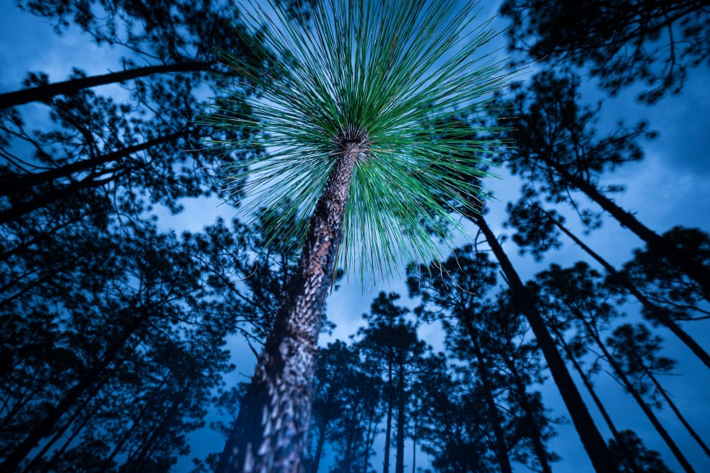 Long leaf pine habitat in the gamelands outside Southern Pines, NC.