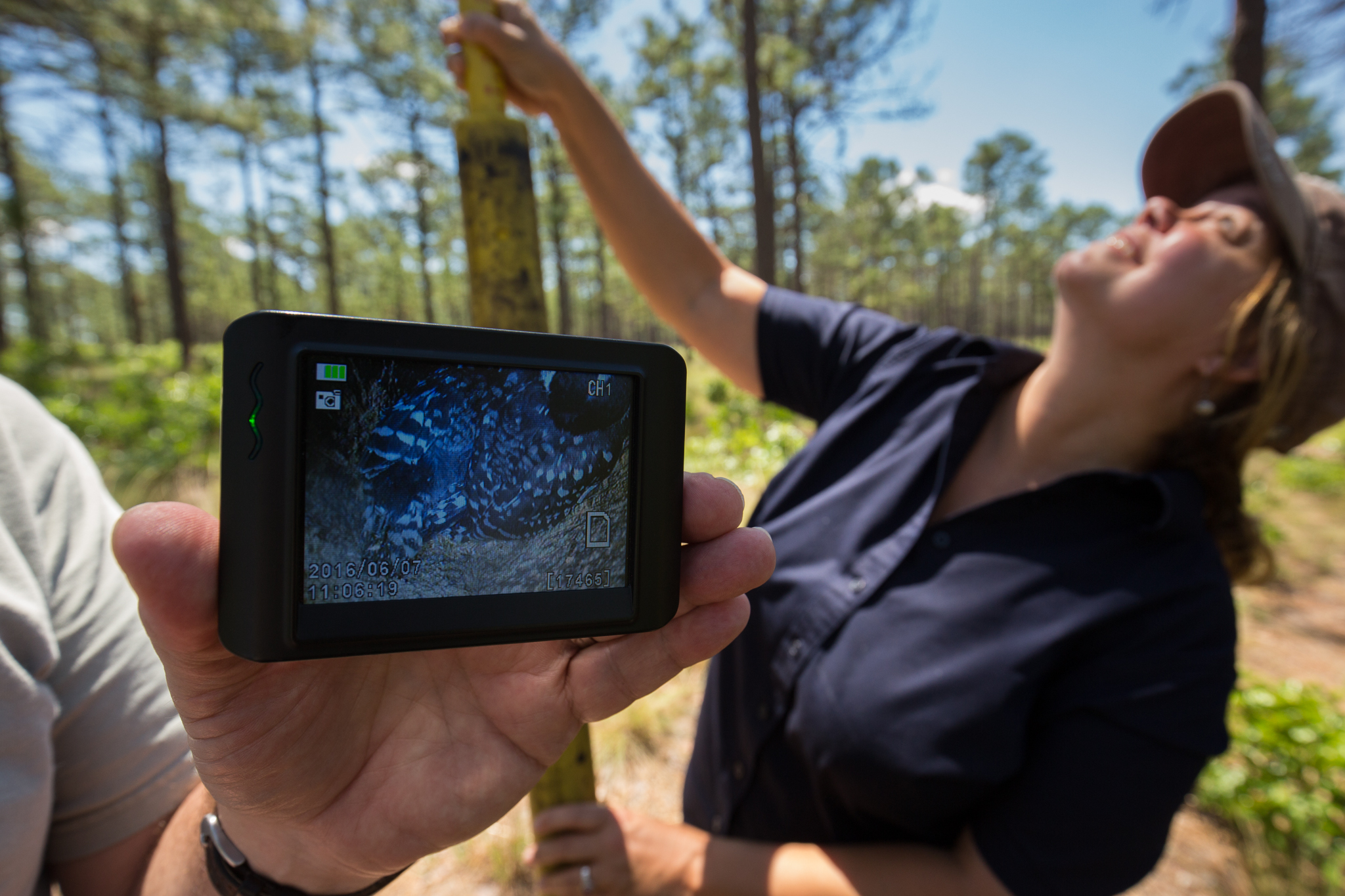Using a wireless camera on a pole, biologists Sarah Hovis and Kerry Brust inspect a red-cockaded woodpecker cavity in the Walthour-Moss Foundation woods, NC.