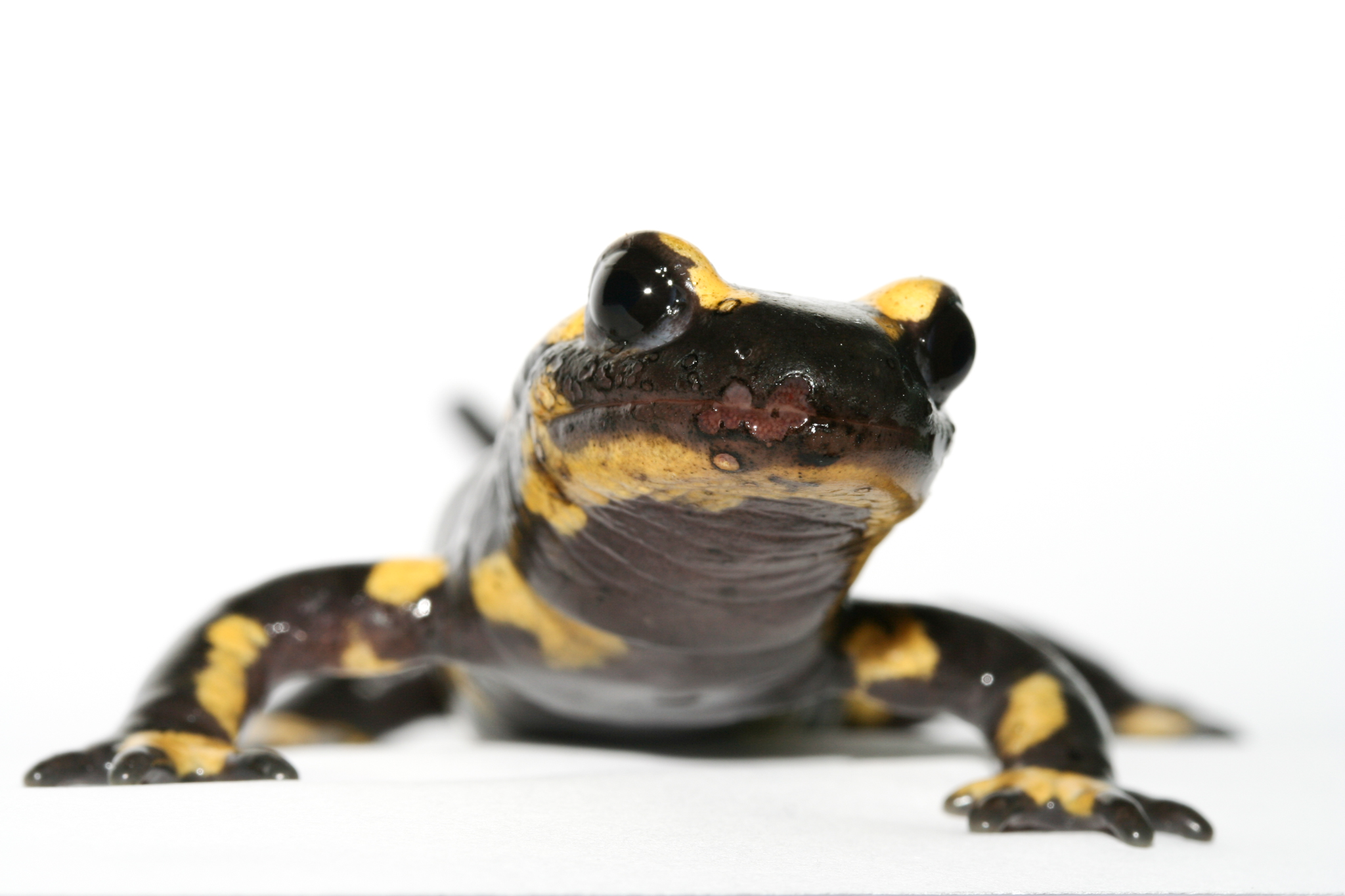 Bsal lesions are visible on the snout of this fire salamander. Photograph by An Martel