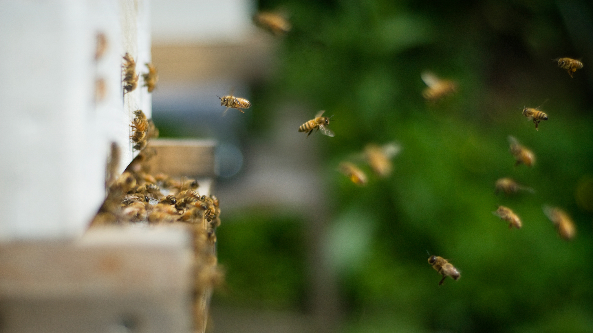 Bee Vectoring Technology hopes to one day adapt its products for use in honey bee hives, which are more common in the pollination industry, serve a different range of crops, and are much larger than commercial bumblebee hives.