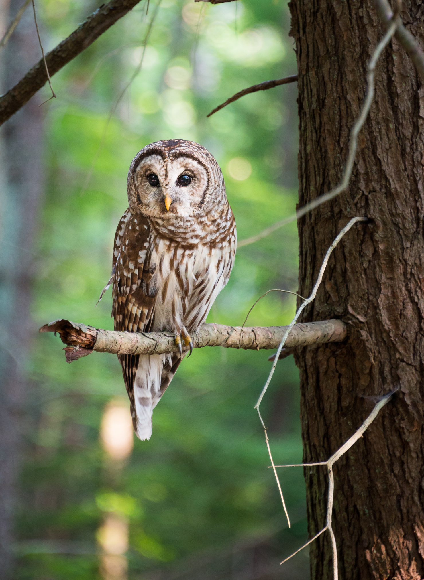 Barred owls (Strix varia) compete with northern spotted owls (Strix occidentalis) for nest sites and food resources in the Pacific Northwest, a region once occupied by only spotted owls.