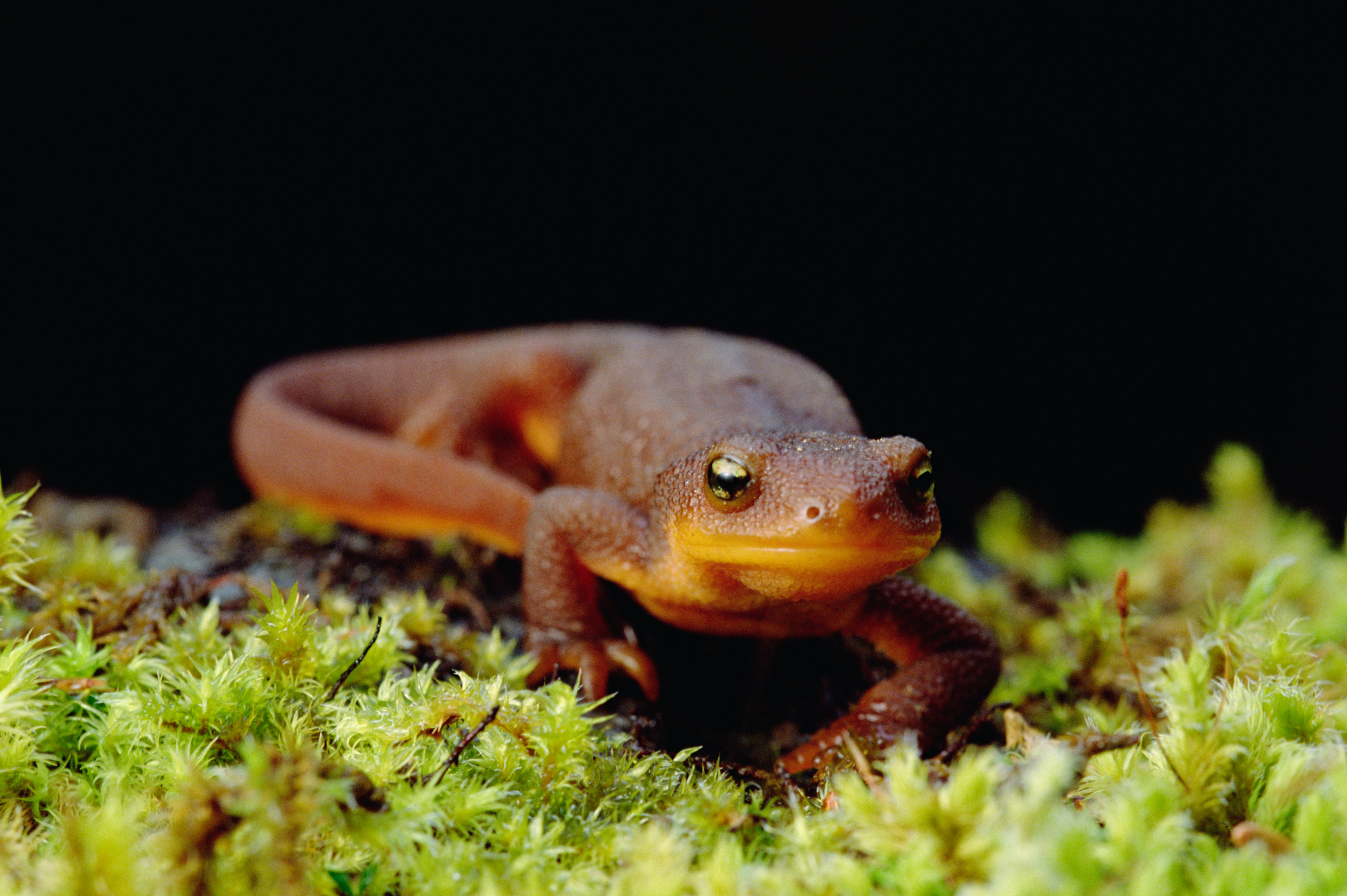 Rough-skinned Newt (Taricha granulosa) Siskiyou National Forest, Oregon. Photo by Gerry Ellis
