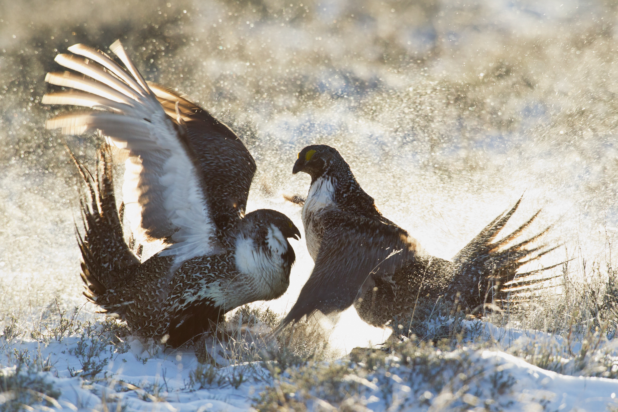 Sometimes battles in the lek become physical. Here, two males fight for supremacy amidst a dusting of snow on an early spring morning. Photograph by Danita Delimont