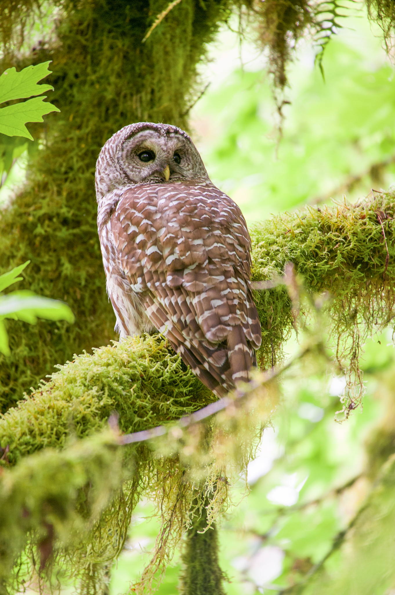 Adult barred owls are aggressive and fiercely territorial and have managed to push their way into forests of the Pacific Northwest.