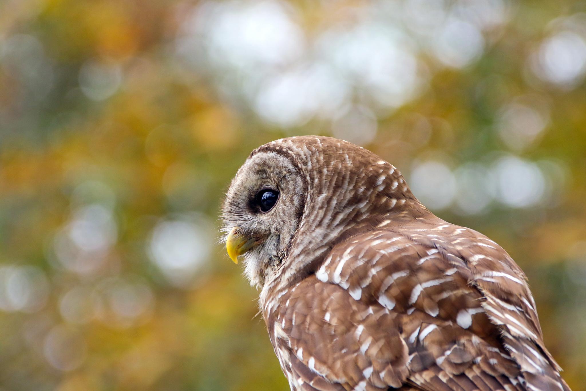 A barred owl surveys its territory.
