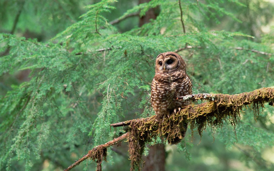 A northern spotted owl (Strix occidentalis) surveys its territory along the Pacific Northwest coast.