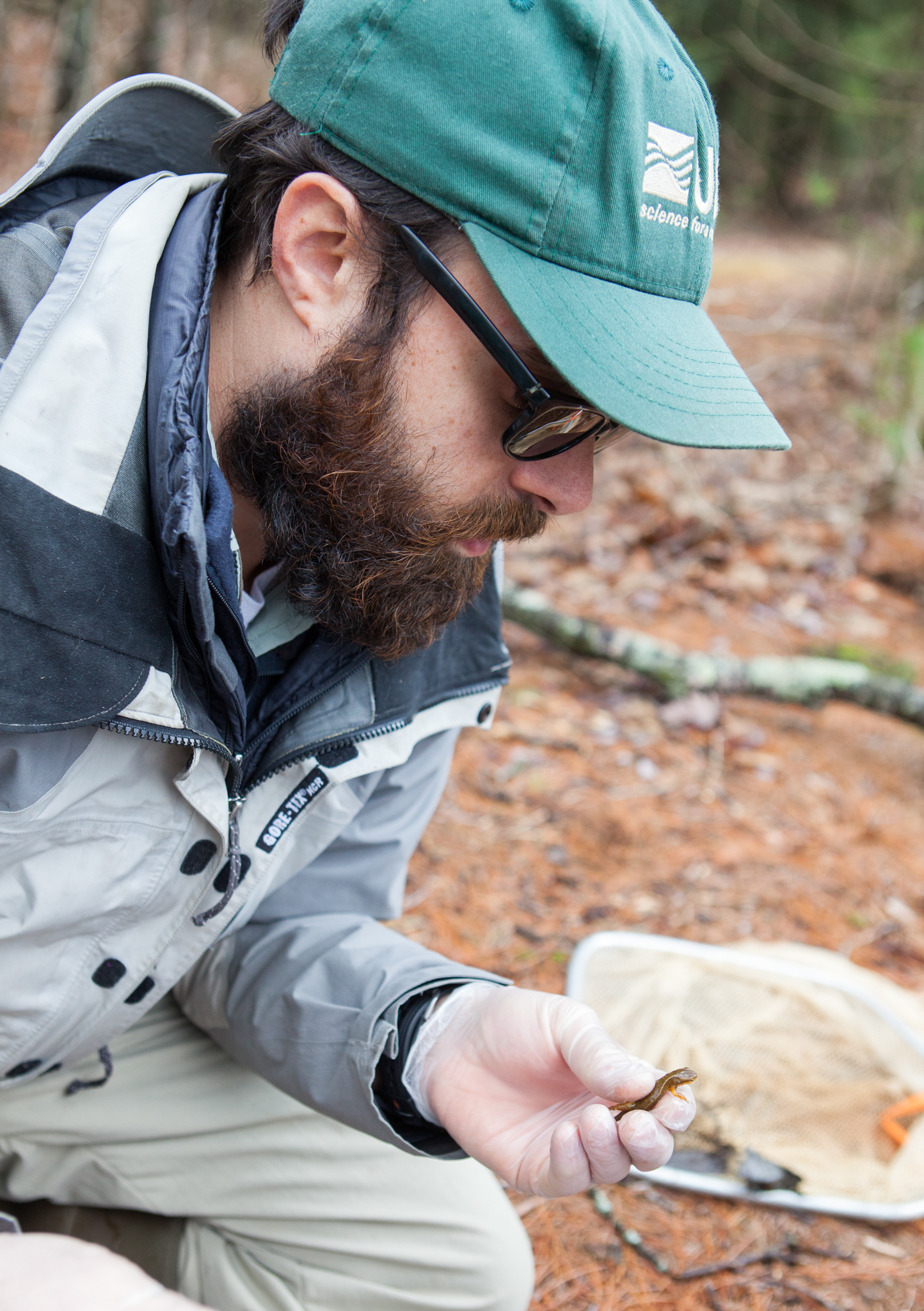 Evan Grant, a wildlife biologist with the United States Geological Survey, examines a red-spotted newt (Notophthalmus viridescens) for any signs of Bsal infection. Photograph by Geoffrey Giller
