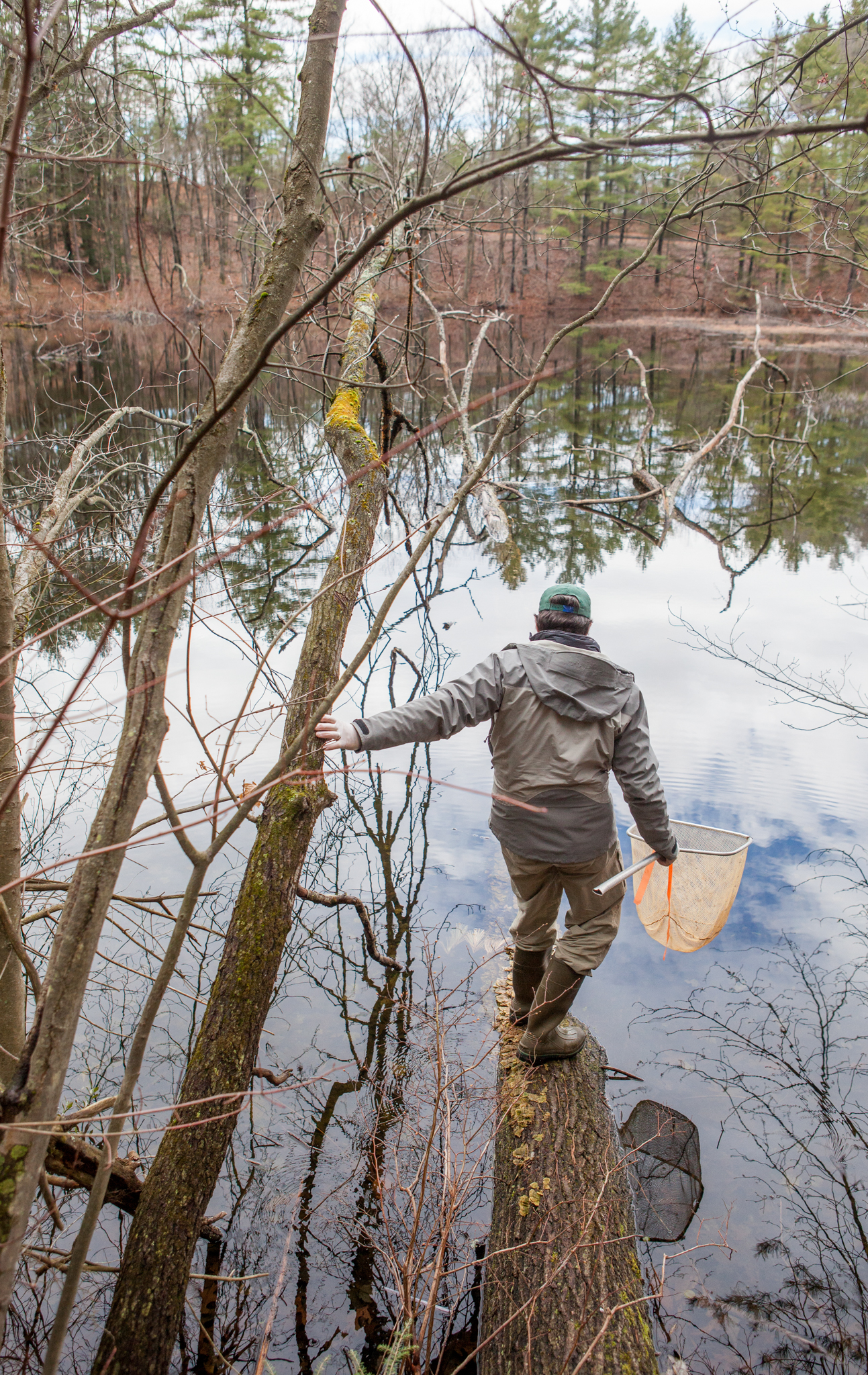 Net in hand, Grant ventures out on a fallen tree to try to capture a newt in this roadside pond in western Massachusetts. He says there could be hundreds or thousands of newts living in the pond. Photograph by Geoffrey Giller