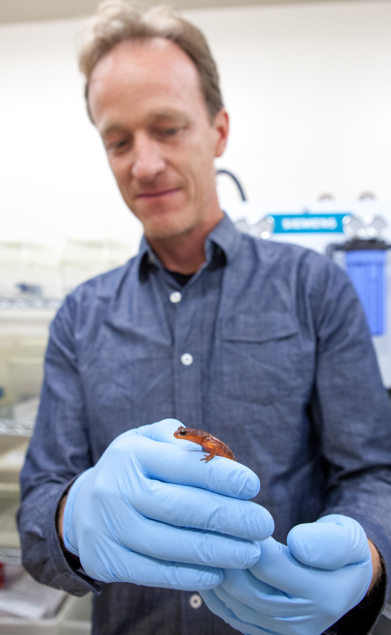 Vance Vredenburg, a professor of biology at San Francisco State University who studies Bd and Bsal, holds a yellow-eyed Ensatina (Ensatina eschscholtzii xanthoptica) in his lab. This is one of several salamanders that he'll expose to Bsal in an effort to better understand susceptibility among various species. Photograph by Geoffrey Giller