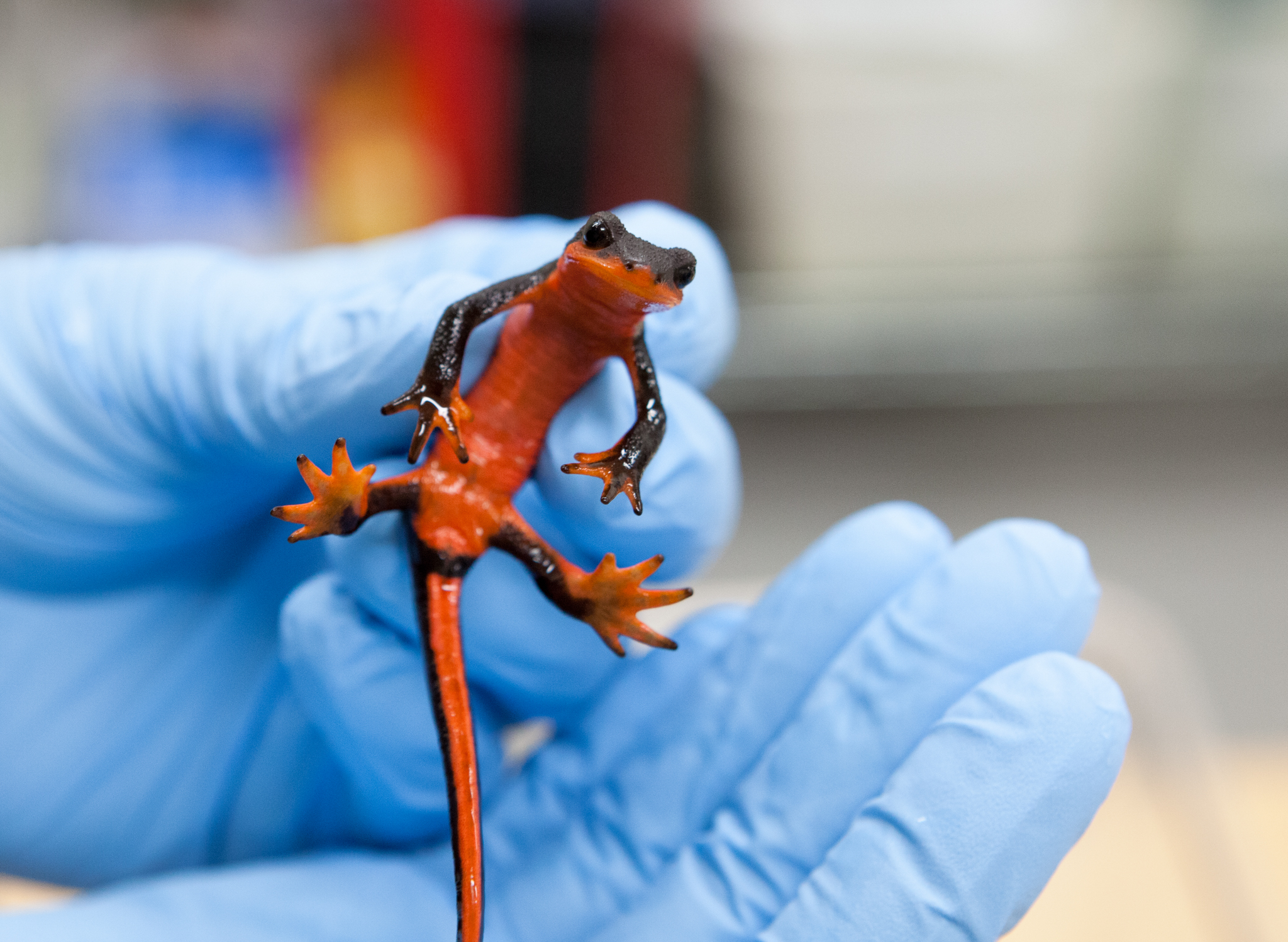 Vredenburg holds a red-bellied newt (Taricha rivularis) in his lab, another subject for his upcoming trial on Bsal susceptibility. While a 2014 paper indicated that another species of this genus was highly susceptible to Bsal, Vredenburg says that more testing is necessary to confirm those findings. Photograph by Geoffrey Giller