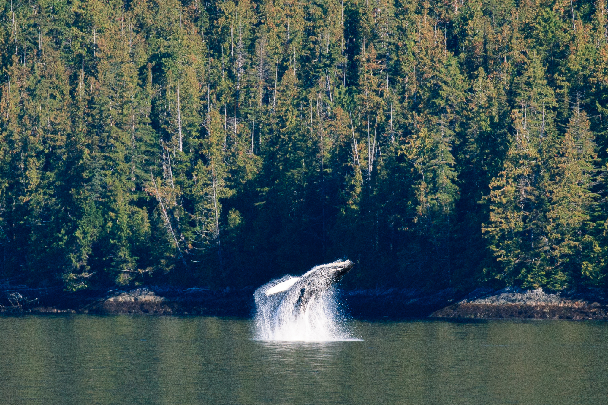 A humpback whale breaches just off the coast of British Columbia's Great Bear Rainforest.