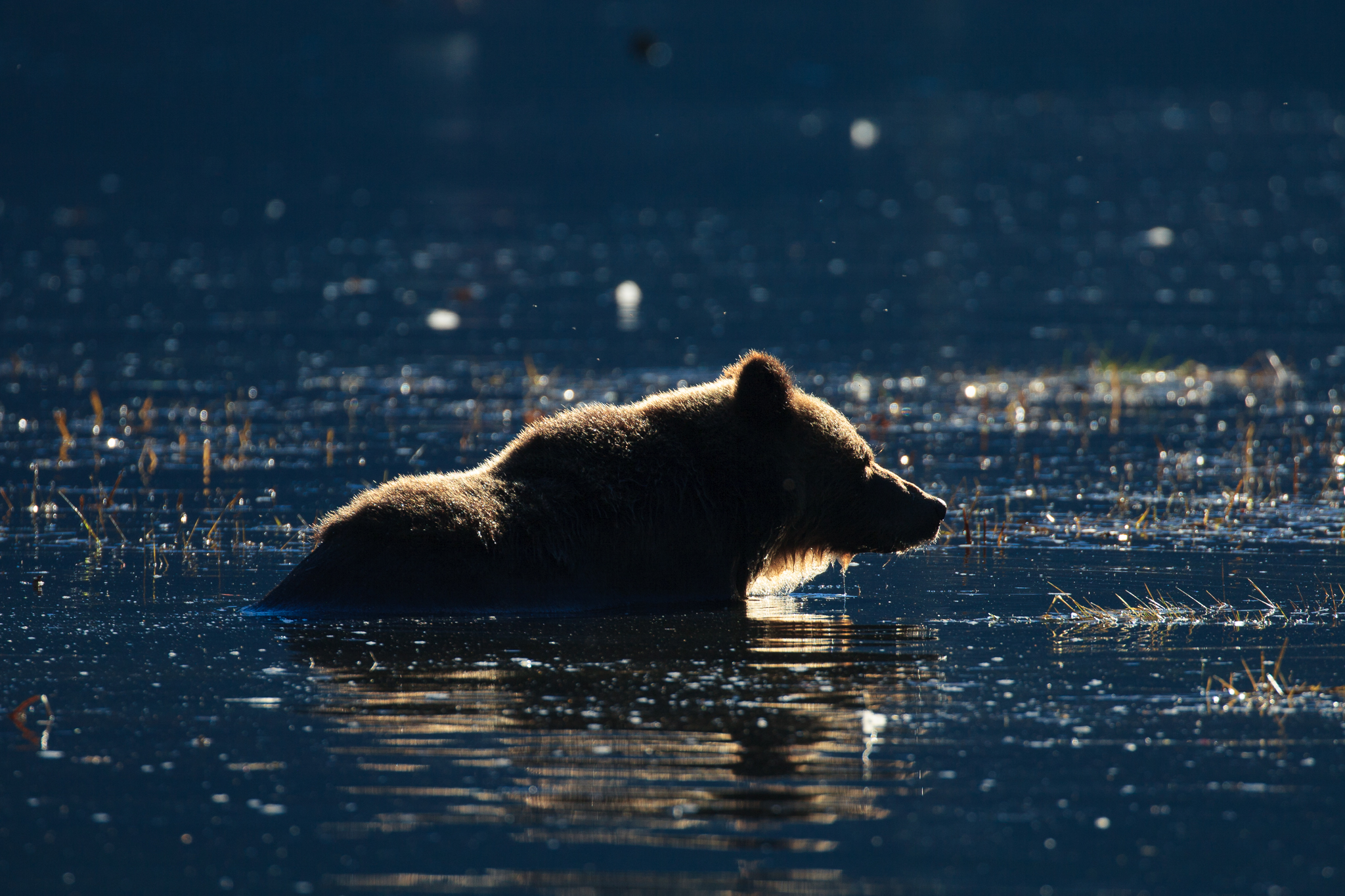 An adult female grizzly wades just off the coast of the Fjordland Conservancy, where groups have joined forces to purchase and shelve the area's 20-year trophy-hunting permit.