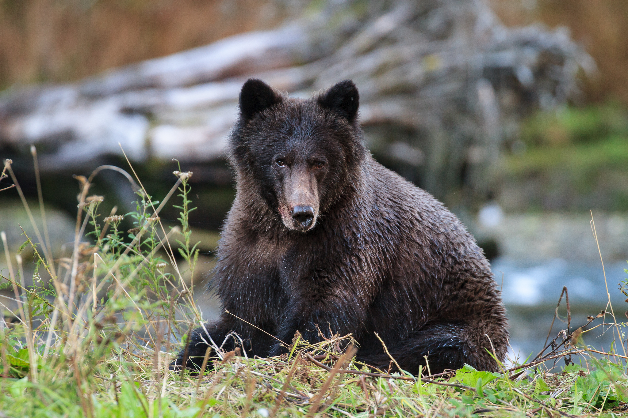A juvenile grizzly enjoys the relative tranquility in Great Bear's Fjordland Conservancy, where the Raincoast Conservation Society and First Nations governments have purchased and shelved the area's 20-year trophy-hunting permit.