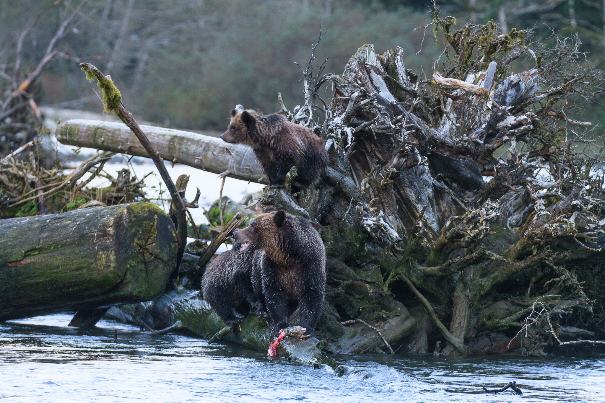 A grizzly mother and cubs keep a watchful eye out for a male foraging nearby, Fjordland Conservancy.