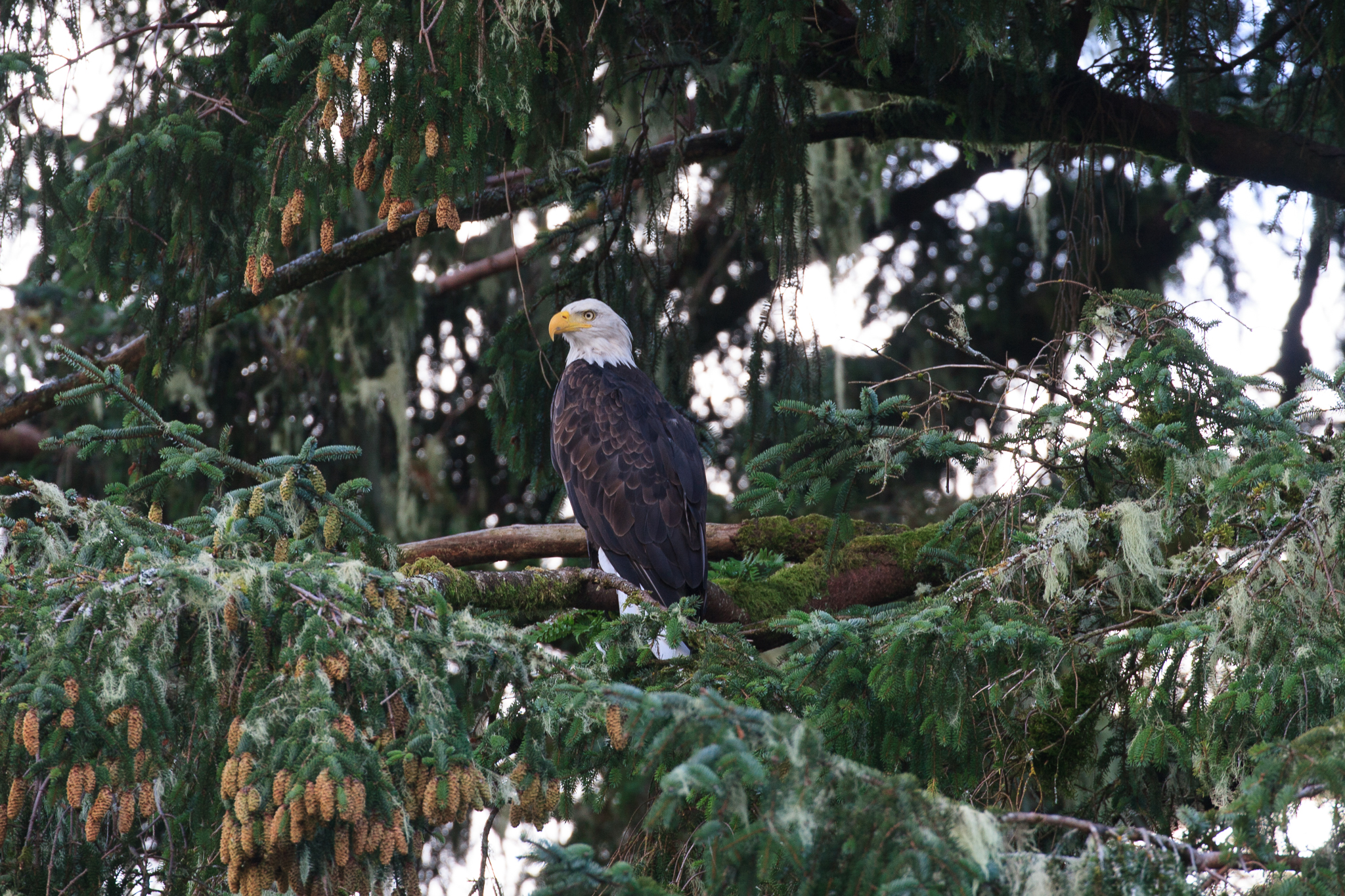 A bald eagle keeps watch from a perch above Khutze Bay.