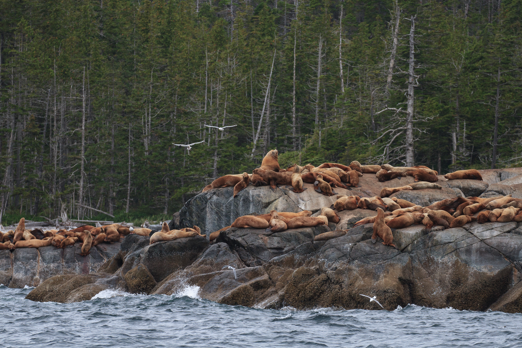 Sea lions are a preferred prey of a distinct race of orcas that feeds almost exclusively on marine mammals off the coast of the Great Bear Rainforest.
