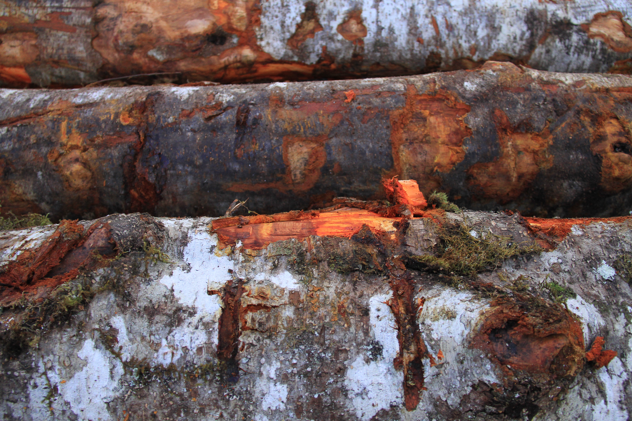Young-growth red alder trees at Icy Straits Lumber, near Hoonah Alaska. Miller owner Wes Tyler is experimenting with turning the beautiful wood into tables.