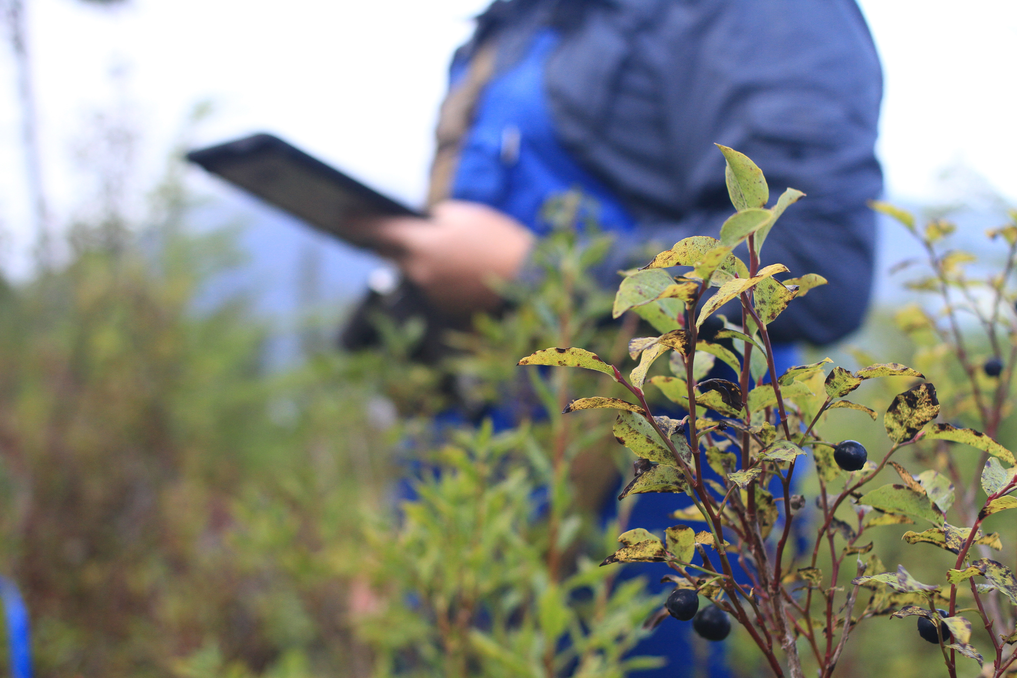 Blueberry bushes grow at the site of an old clearcut on Southeast Alaska's Chichagof Island. Bob Christensen, an ecologist, takes notes in the background as the crew he oversees surveys the types of plants growing back on the cut slope.