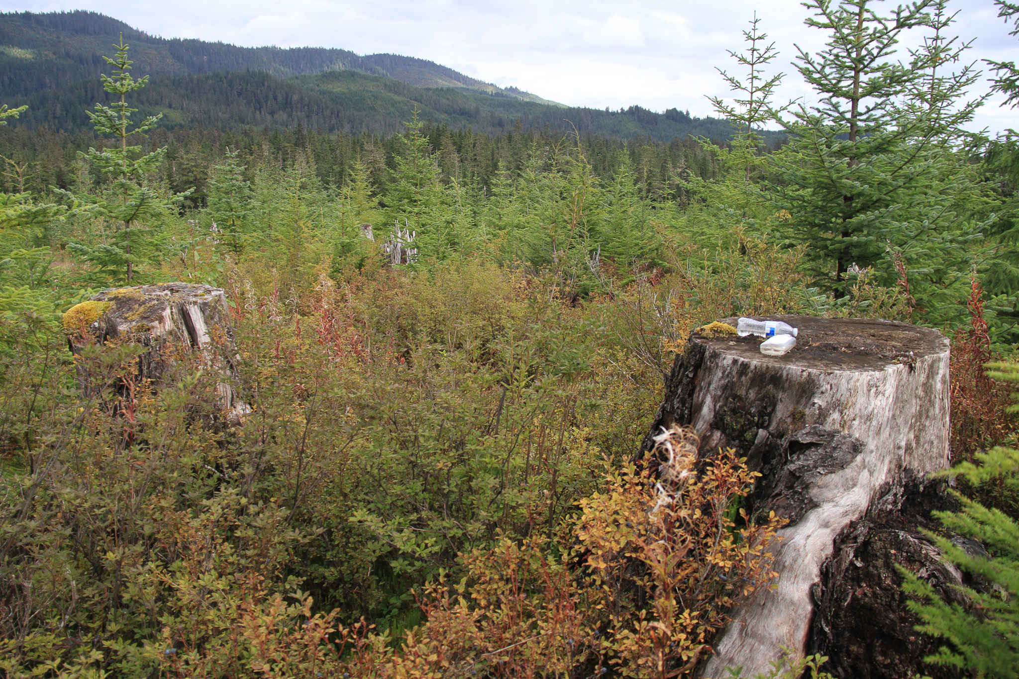 Old growth tree stumps on a recovering clearcut outside of Hoonah, Alaska, on Chichagof Island.