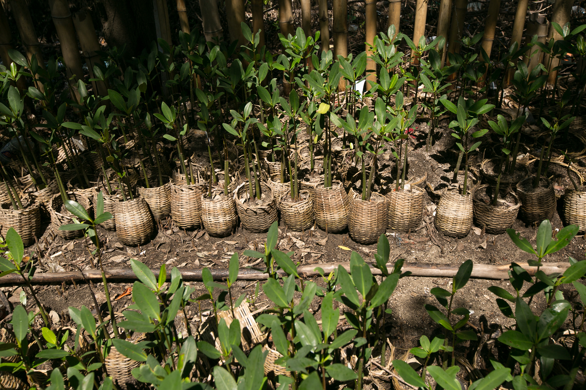 Wiener's team grows mangrove seedlings in biodegradable baskets, allowing the mature seedlings to be planted easily—basket and all. ©2016 Bahare Khodabande.