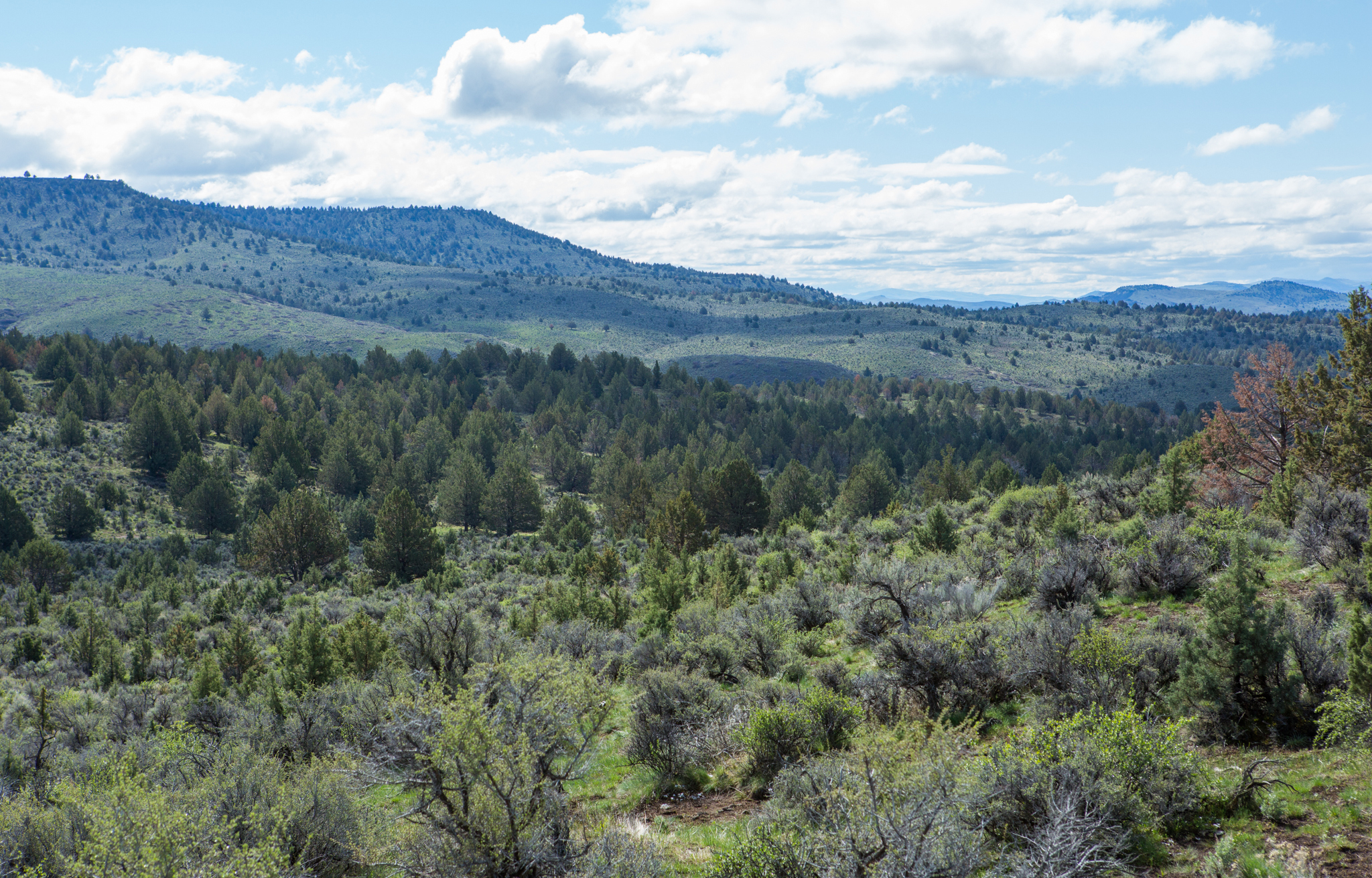 Young juniper trees cover this expanse of what was once open sagebrush and grasses.