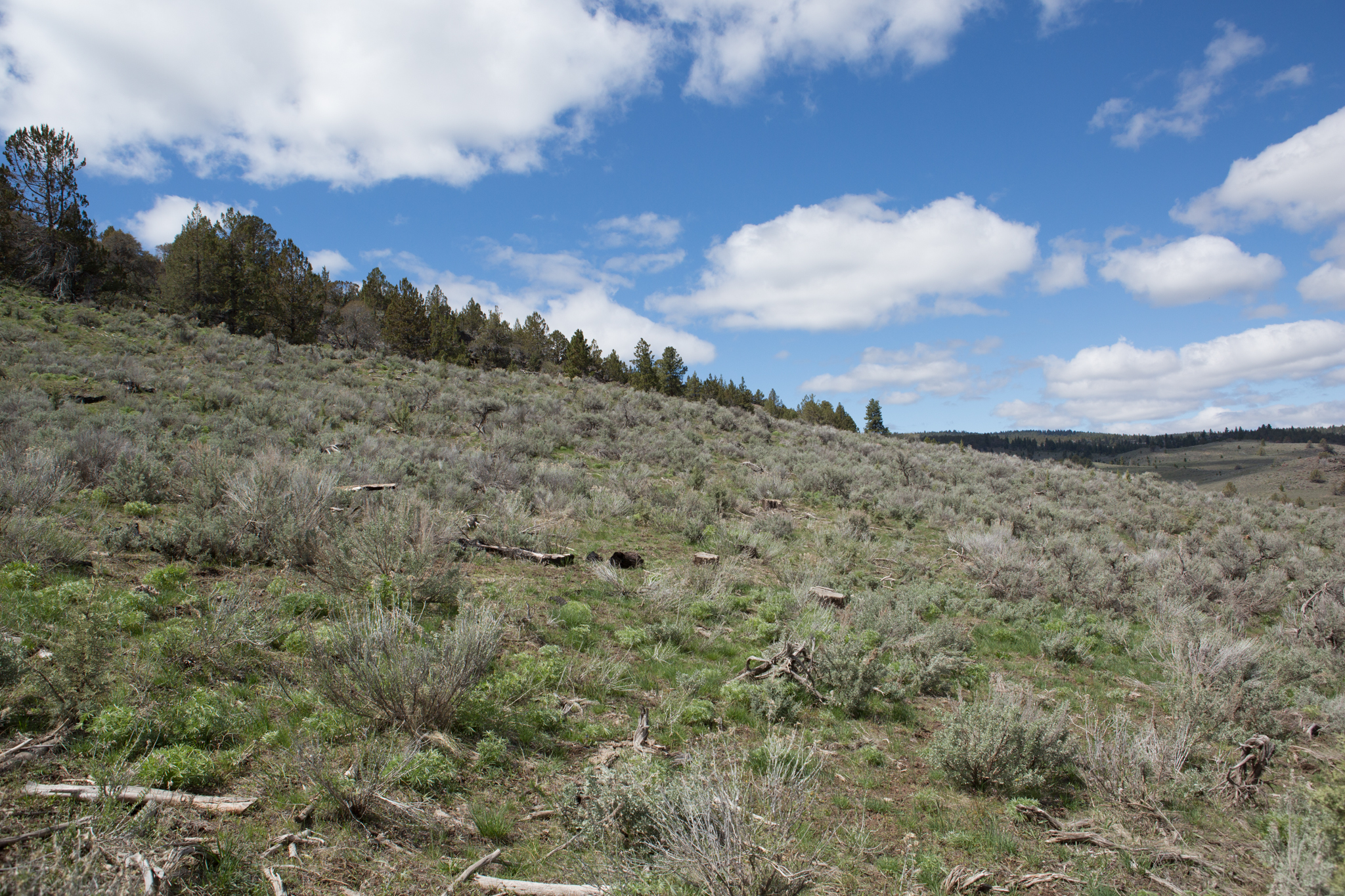 This tract on Jeff Hussey's ranch now boasts an open expanse of sagebrush and grasses having been recently cleared of junipers.