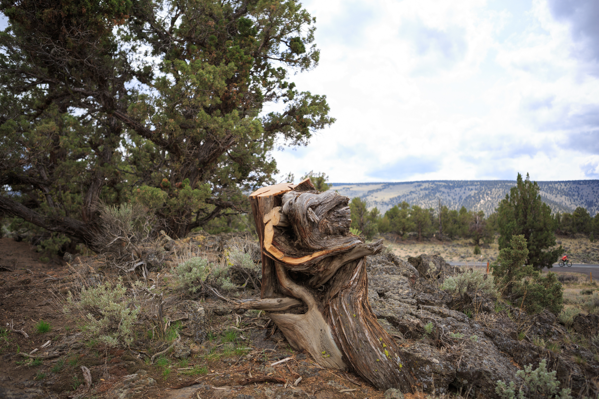 This twisted stump is all that remains of the ancient juniper that stood at the Flatiron trailhead outside of Bend, Oregon. The tree was chopped down illegally in December 2015.
